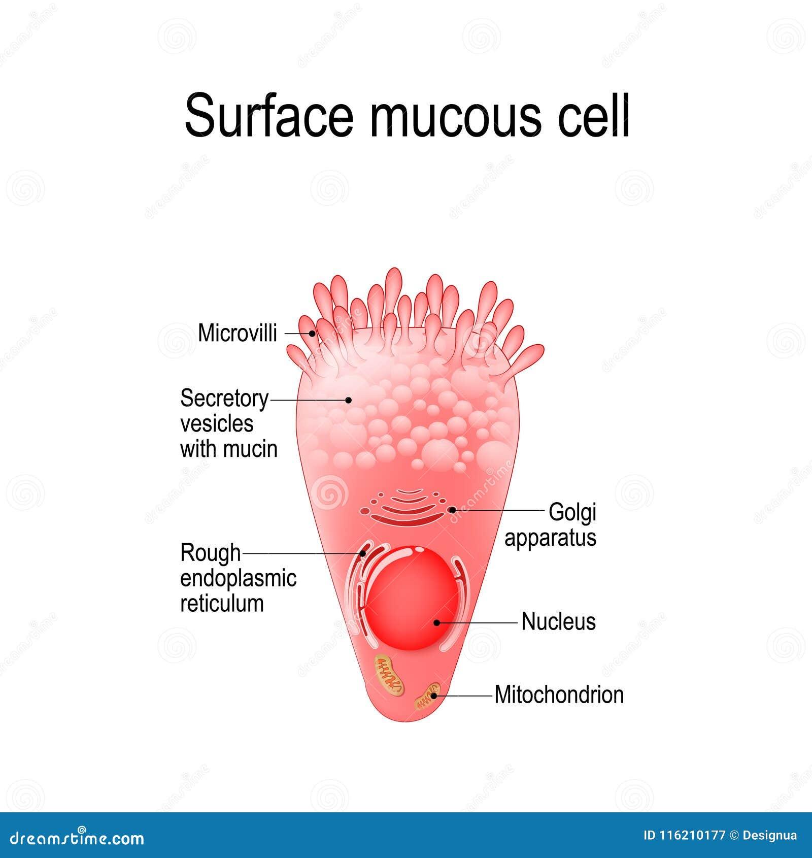 Cellula mucosa di superficie