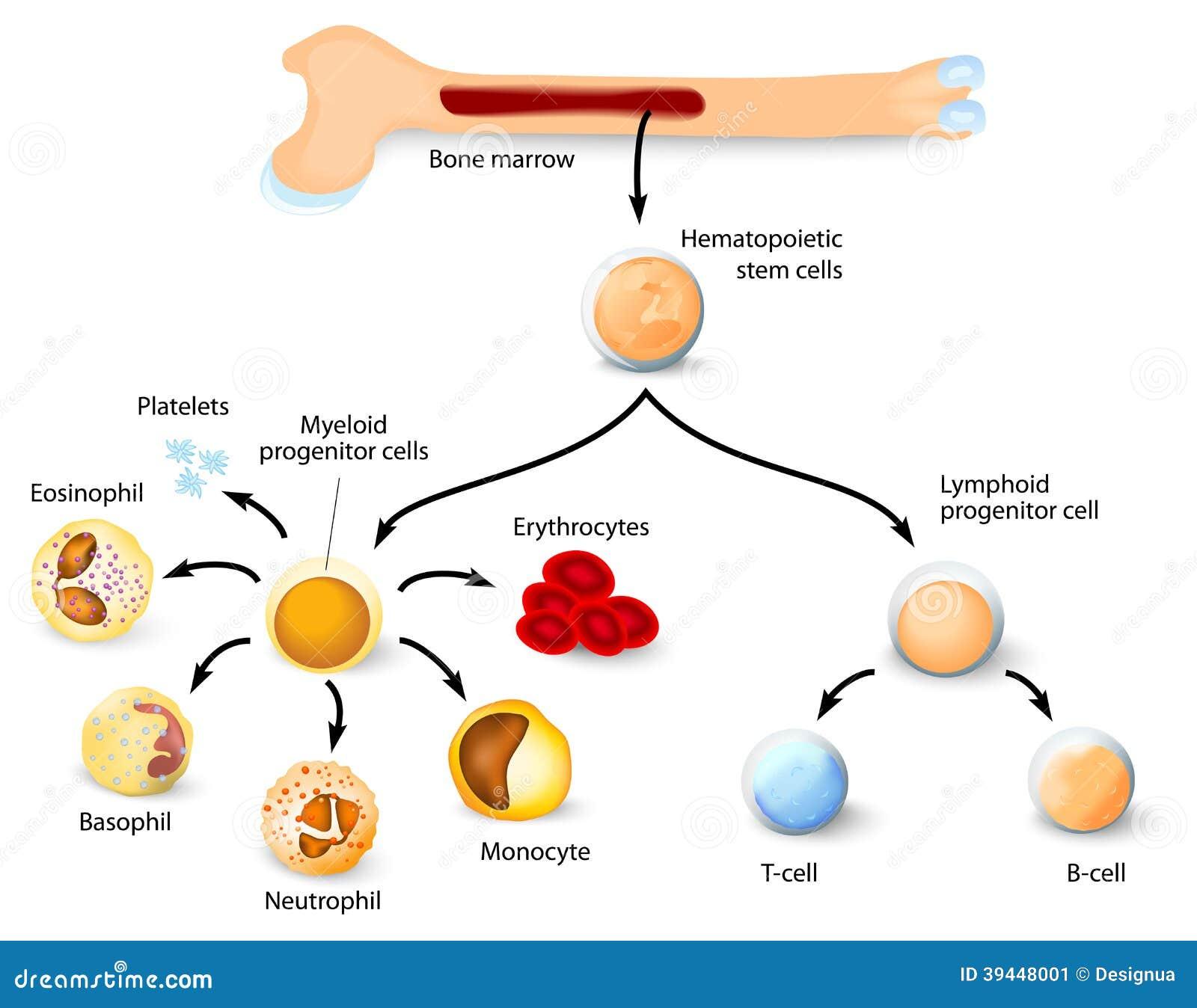 Cellula staminale ematopoietica