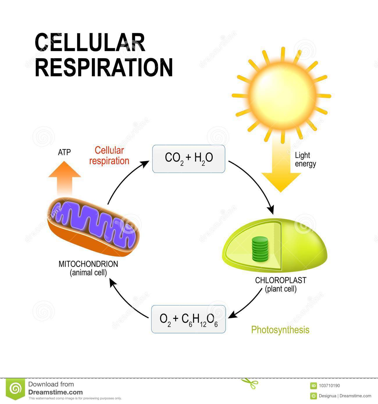 How are photosynthesis and aerobic cellular respiration similar