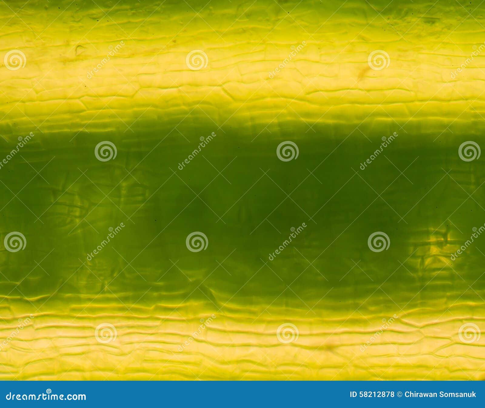 Cellules de centrale sous le microscope