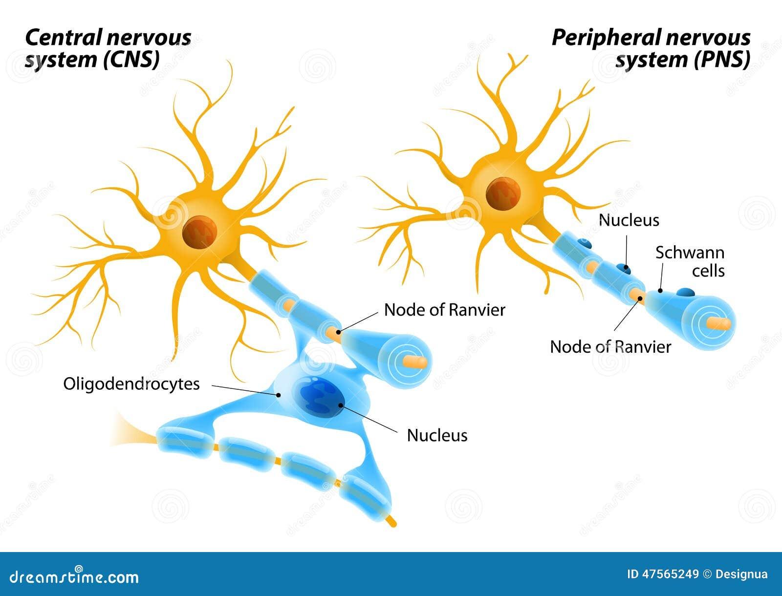 Cellules de Schwann et Oligodendrocytes