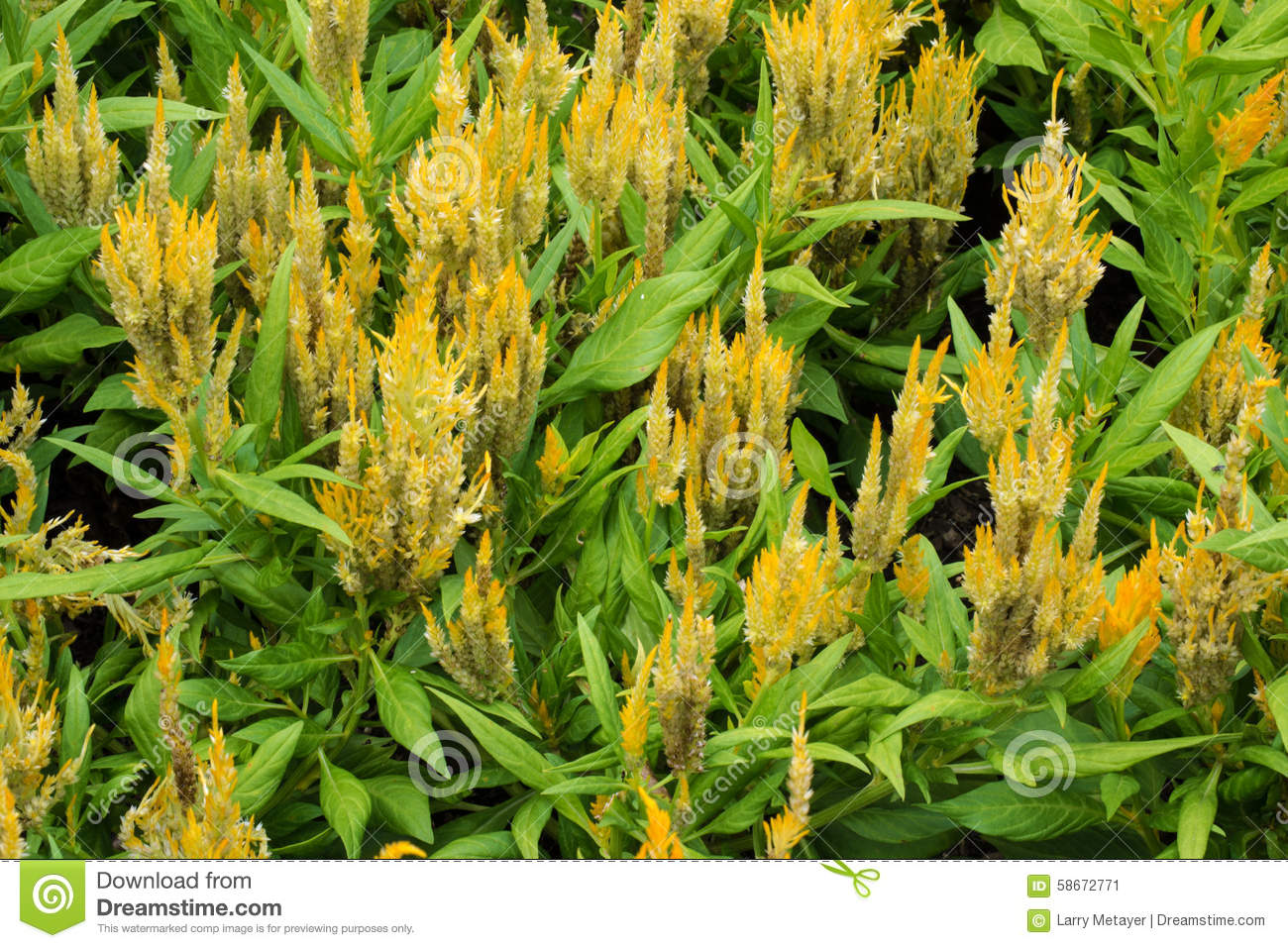 Celosia cristata flowers in bloom stock image image of closeup royalty free stock photo izmirmasajfo Choice Image