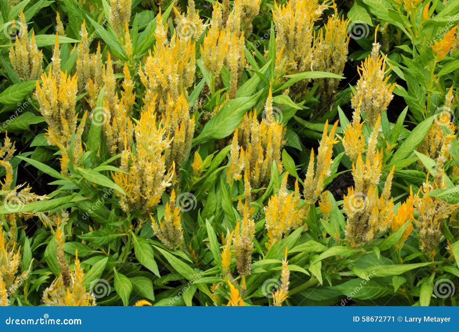 Celosia cristata flowers in bloom stock image image of closeup download comp izmirmasajfo