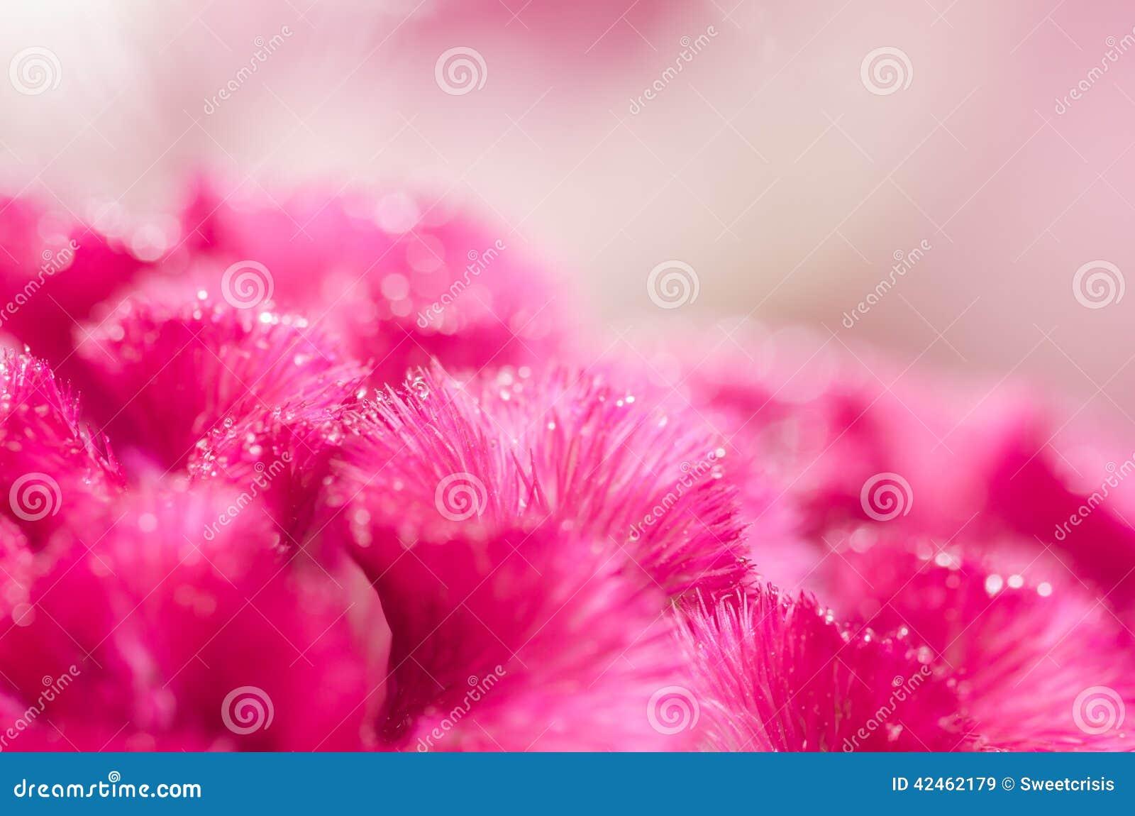 Celosia- oder Wollblumen oder Hahnenkammblume