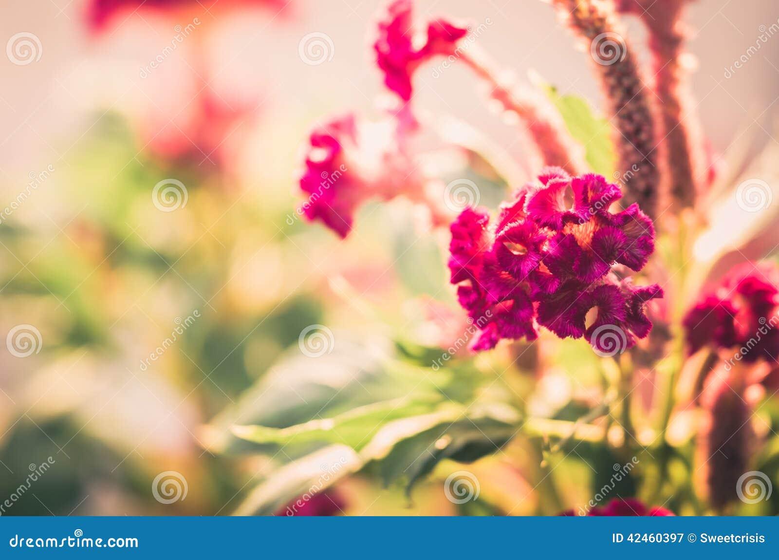 Celosia- oder Wollblumen oder Hahnenkammblumenweinlese