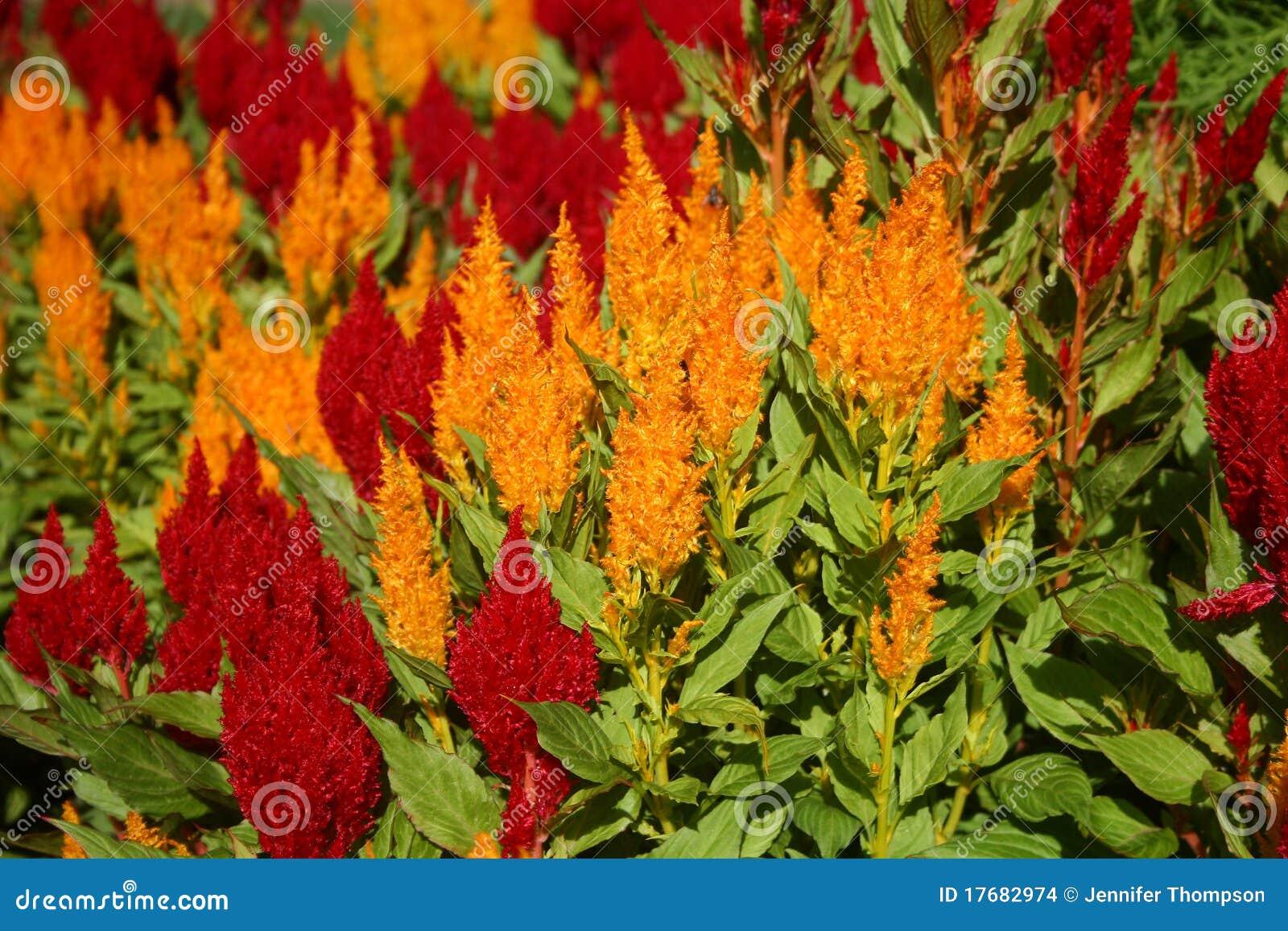 Celozja kwiaty