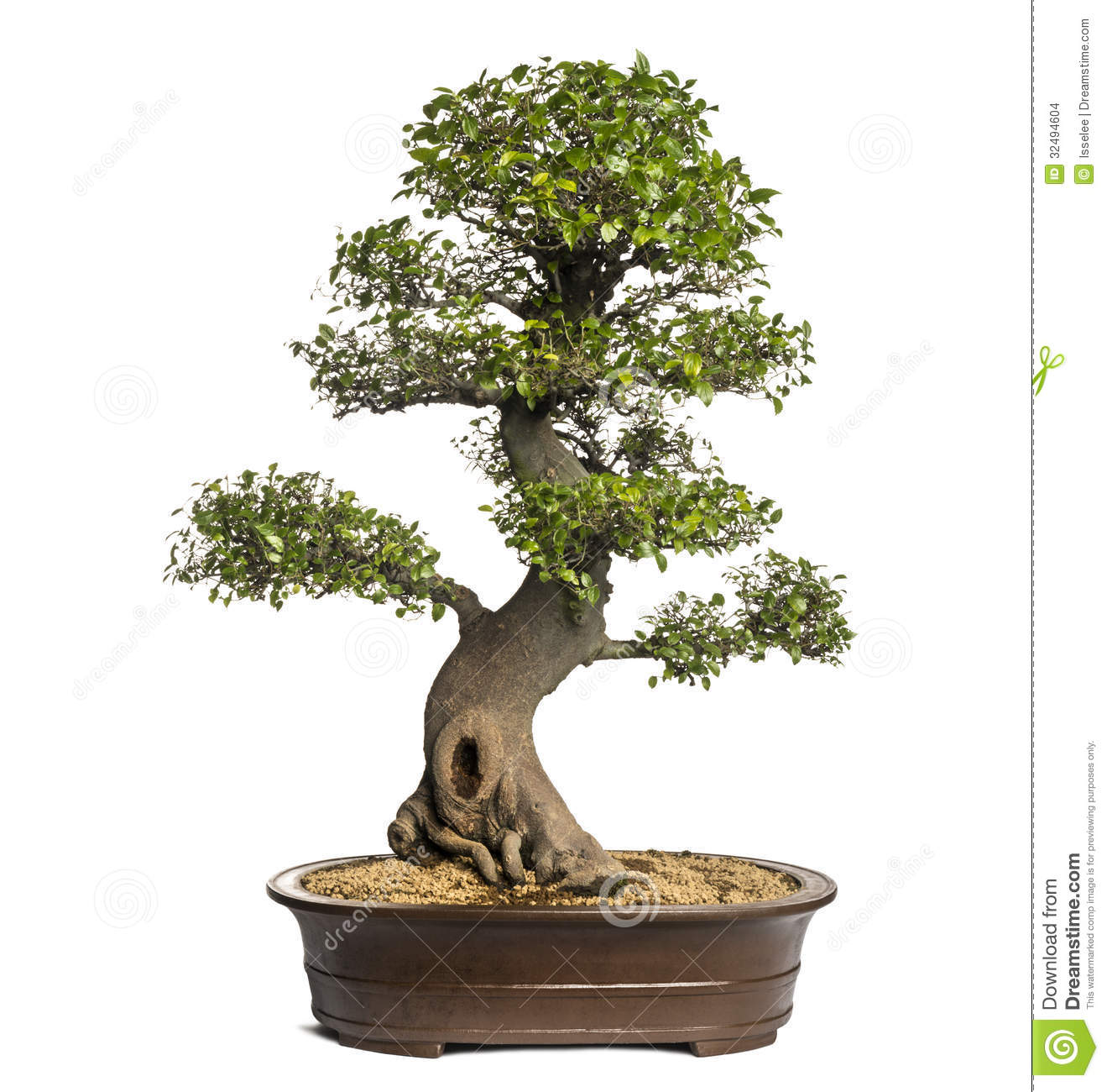 [Image: celtis-bonsai-tree-hackberries-isolated-...494604.jpg]