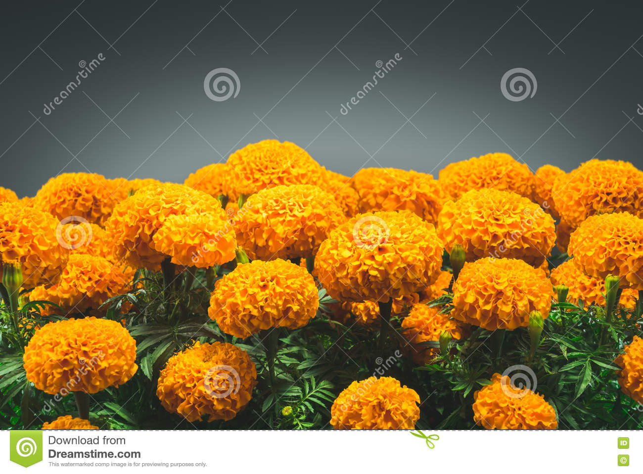 Cempasuchil Flower Used For Mexican Altars For Stock Image Image