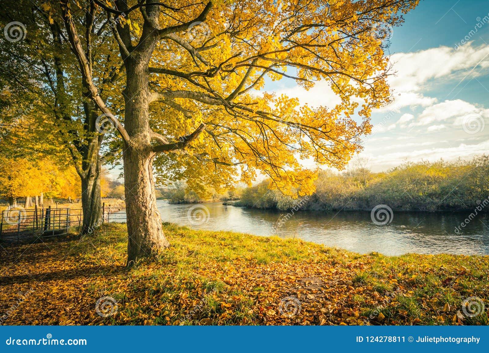 Cenário bonito, dourado do outono com árvores e folhas douradas na luz do sol em Escócia