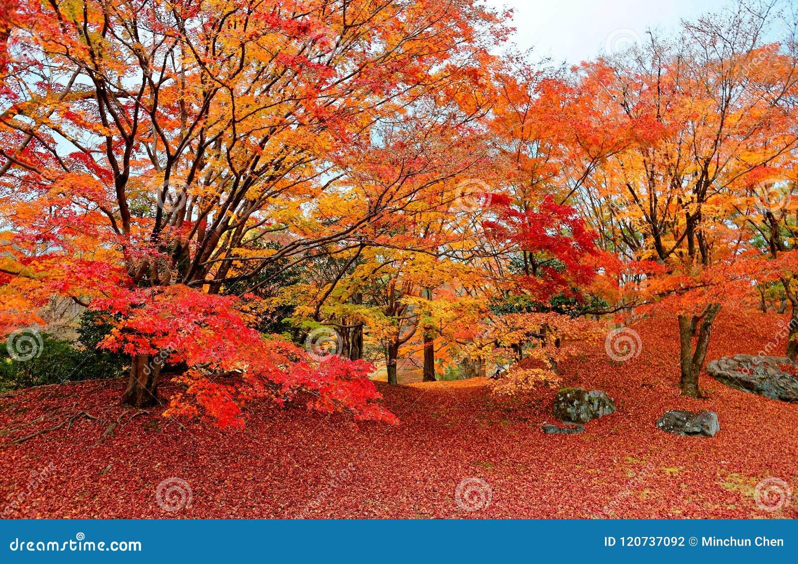 Cenário da queda de árvores de bordo impetuosas em um jardim japonês no parque real do palácio imperial de Sento em Kyoto