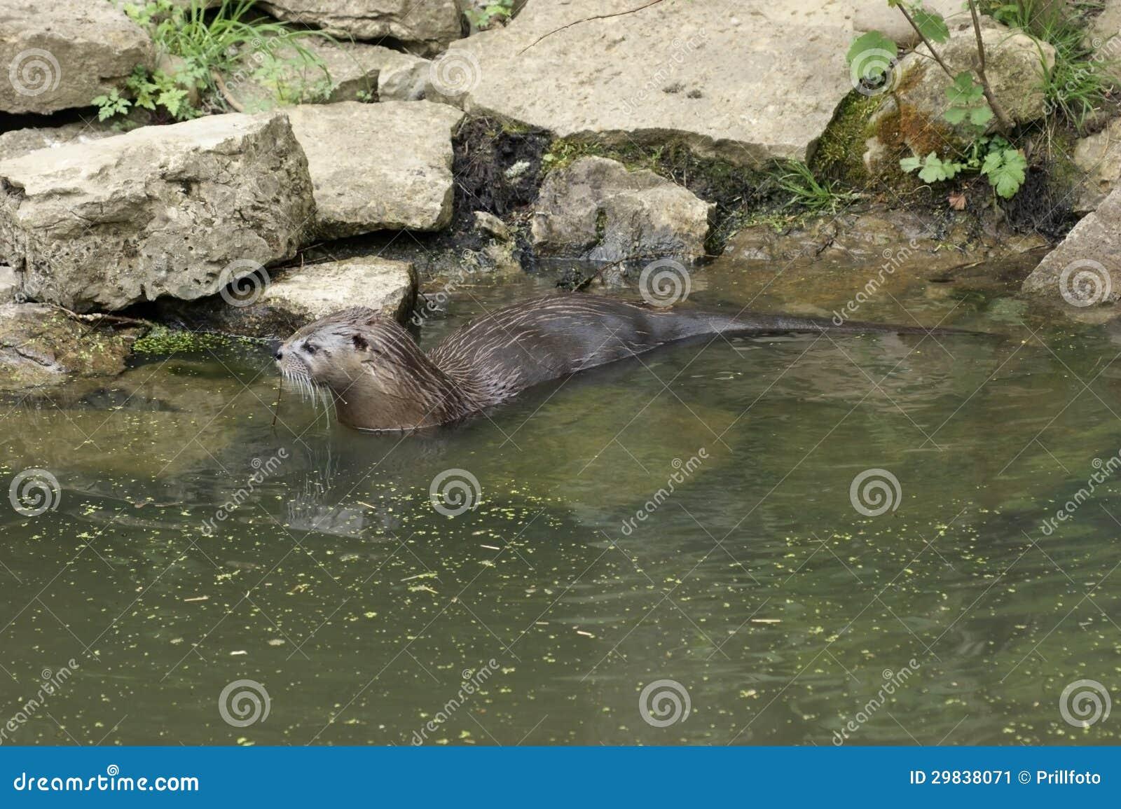 Lontra no ambiance do waterside