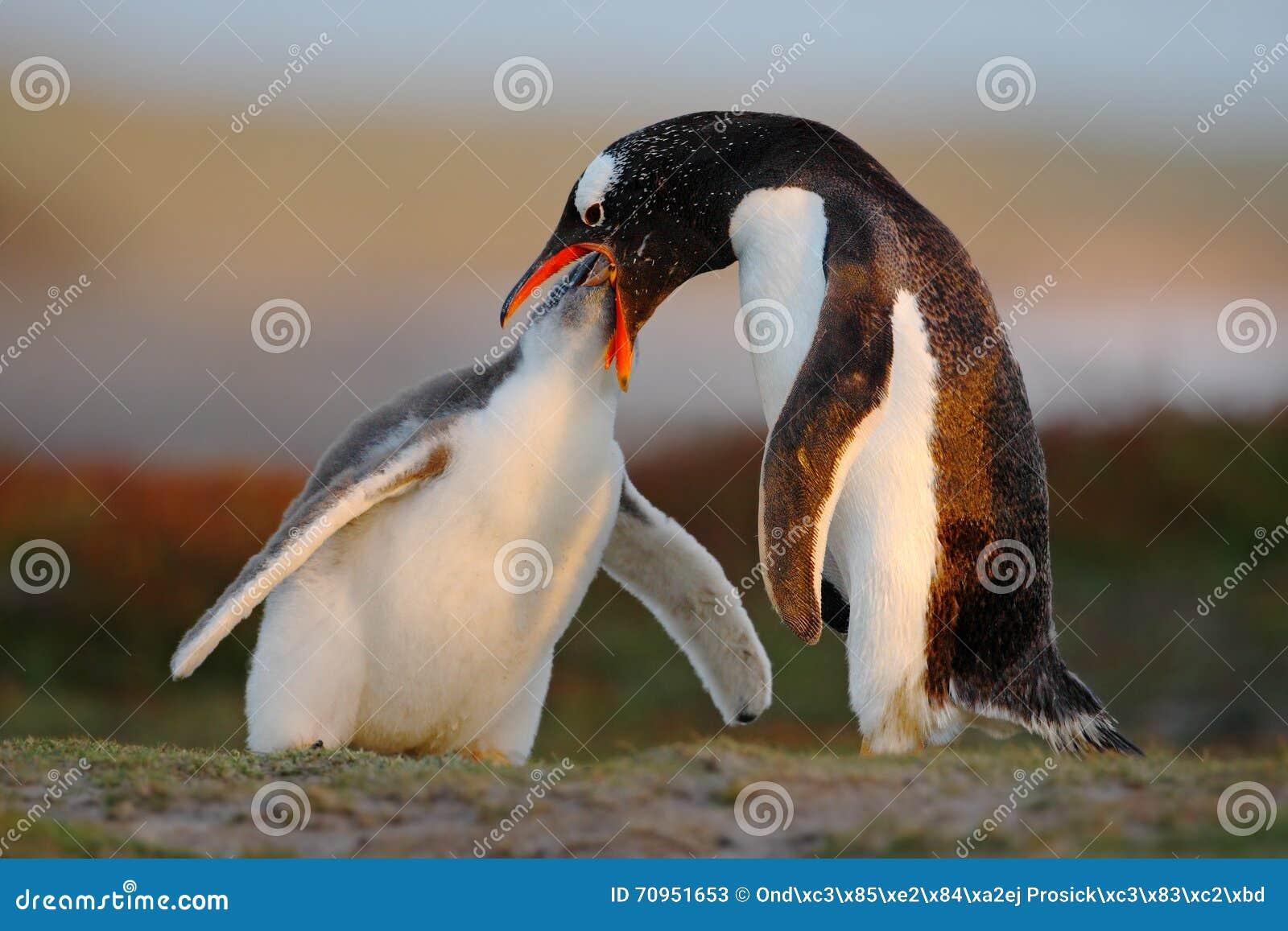 Cena de alimentação Alimento beging do pinguim novo do gentoo ao lado do pinguim adulto do gentoo, Malvinas Pinguins na grama Gen