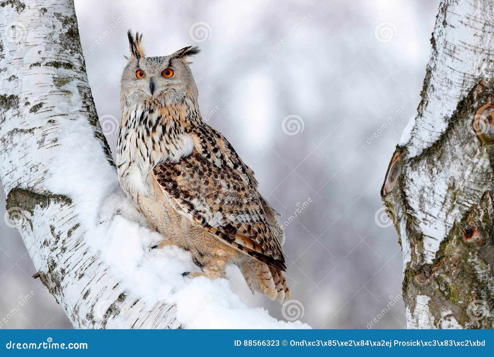 Cena do inverno com coruja Siberian oriental grande Eagle Owl, sibiricus do bubão do bubão, sentando-se no monte com neve na árvo