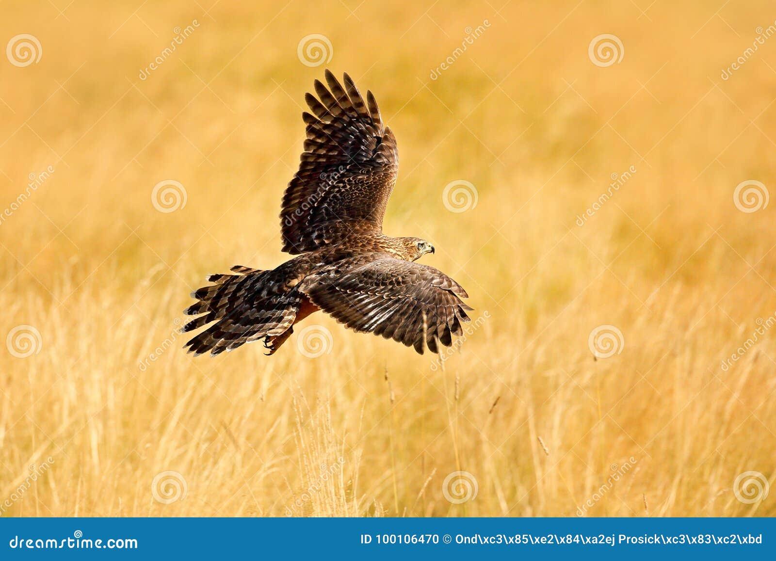 Cena dos animais selvagens da natureza Animal na madeira Pássaro de voo do Goshawk da rapina, gentilis do Accipiter, com o prado