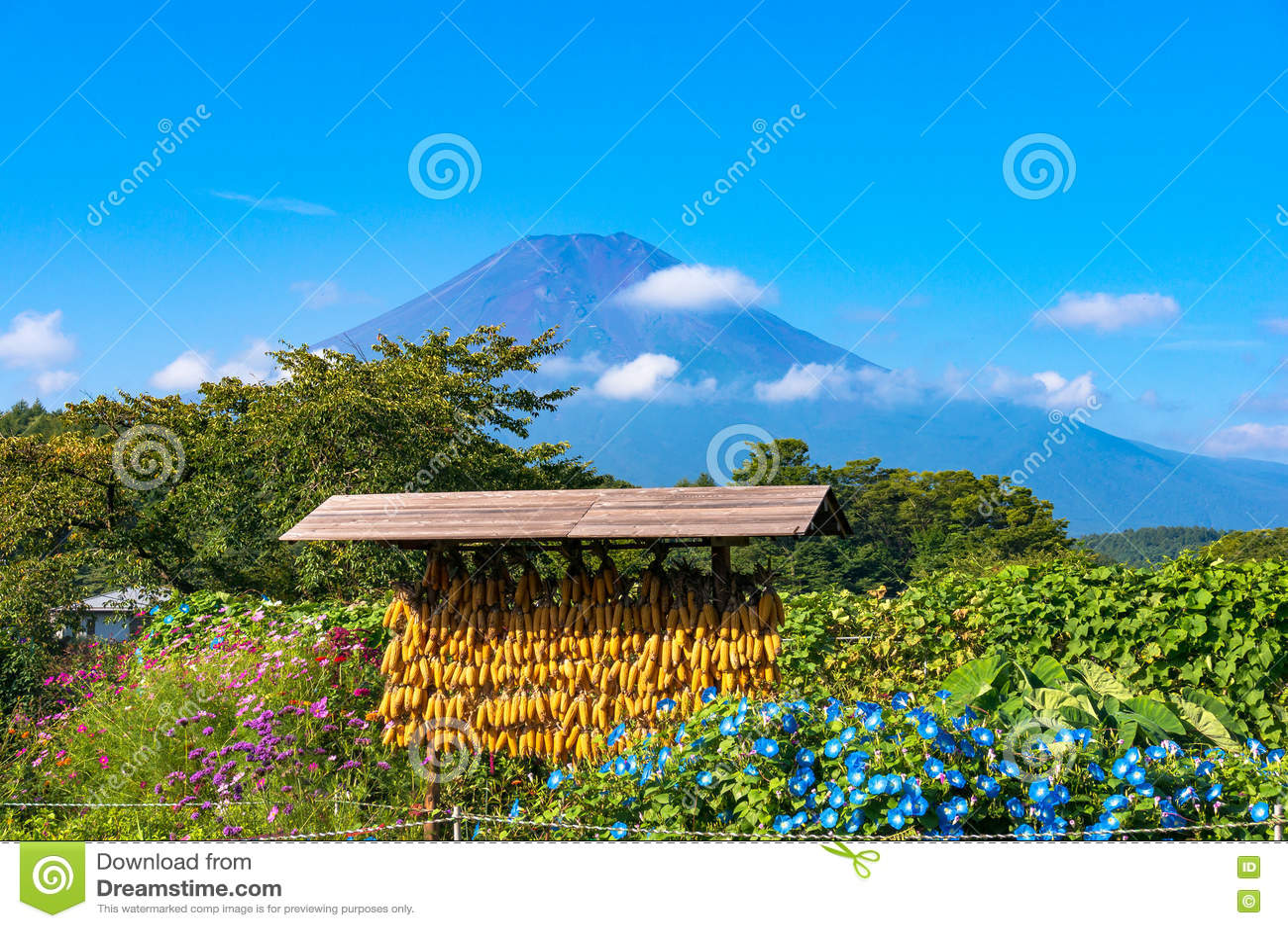Cena rural japonesa da agricultura com milho e o Monte Fuji secos
