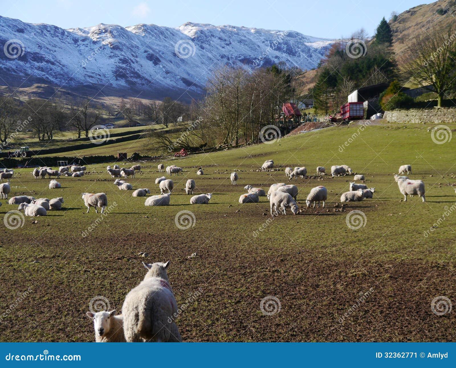 Cena rural que caracteriza carneiros no distrito do lago