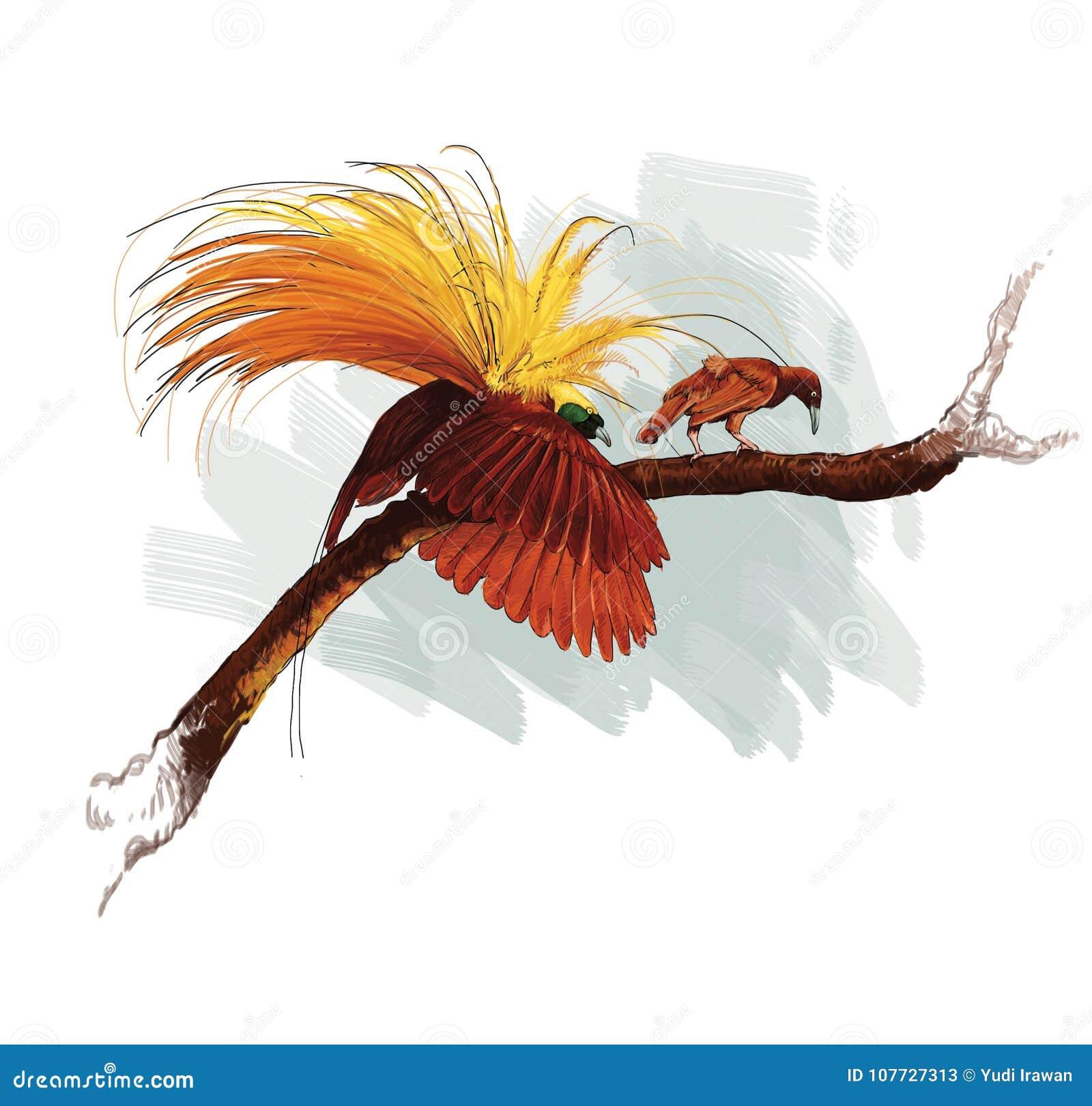 Cendrawasih Bird Papua Indonesia Stock Illustration Illustration Of Drawing Softness 107727313