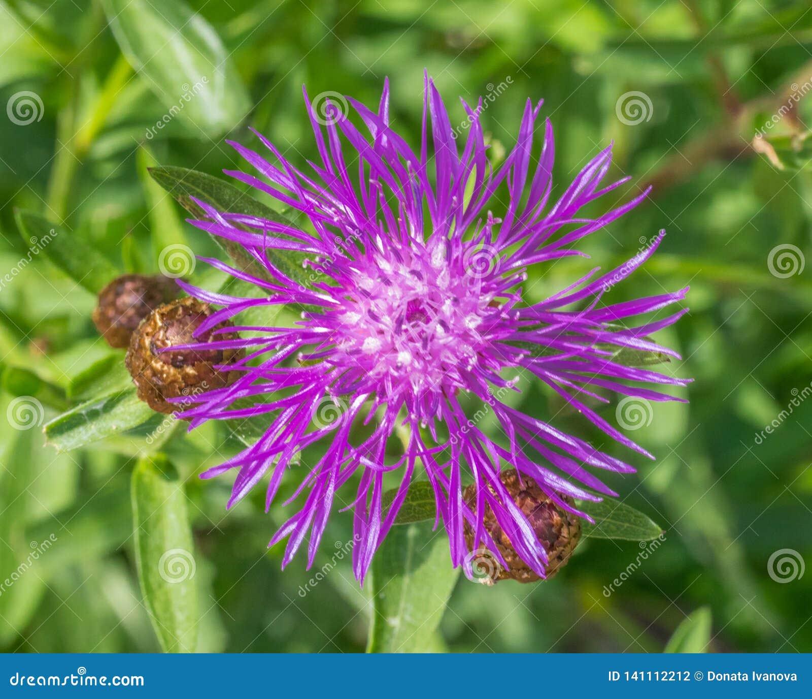 Centaurée de brun de jacea de Centaurea ou plan rapproché brownray de centaurée Fleur fleurissant au printemps