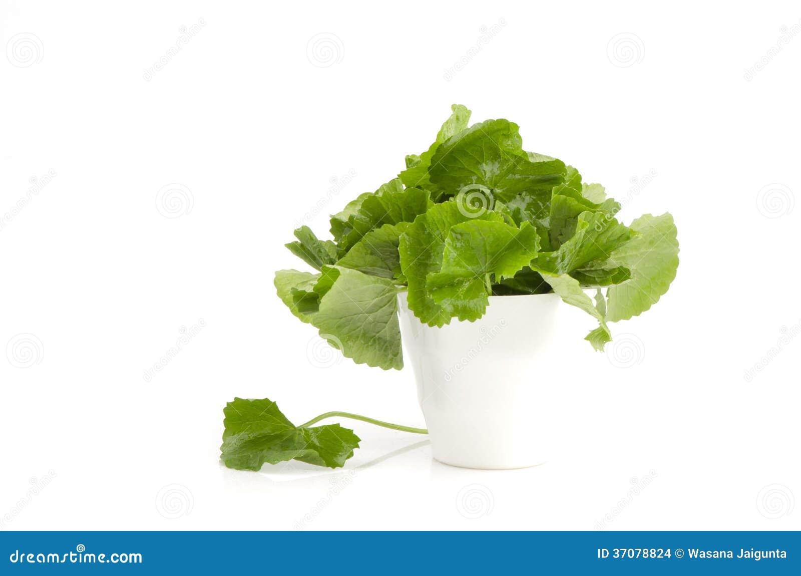 Download Centella Asiatica, Asiatic Wąkrota, (Centella Asiatica (Linn.) Miastowy.) Zdjęcie Stock - Obraz złożonej z kwas, ziele: 37078824