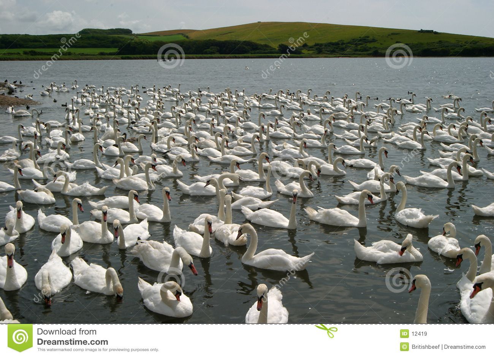 Centenares de cisnes