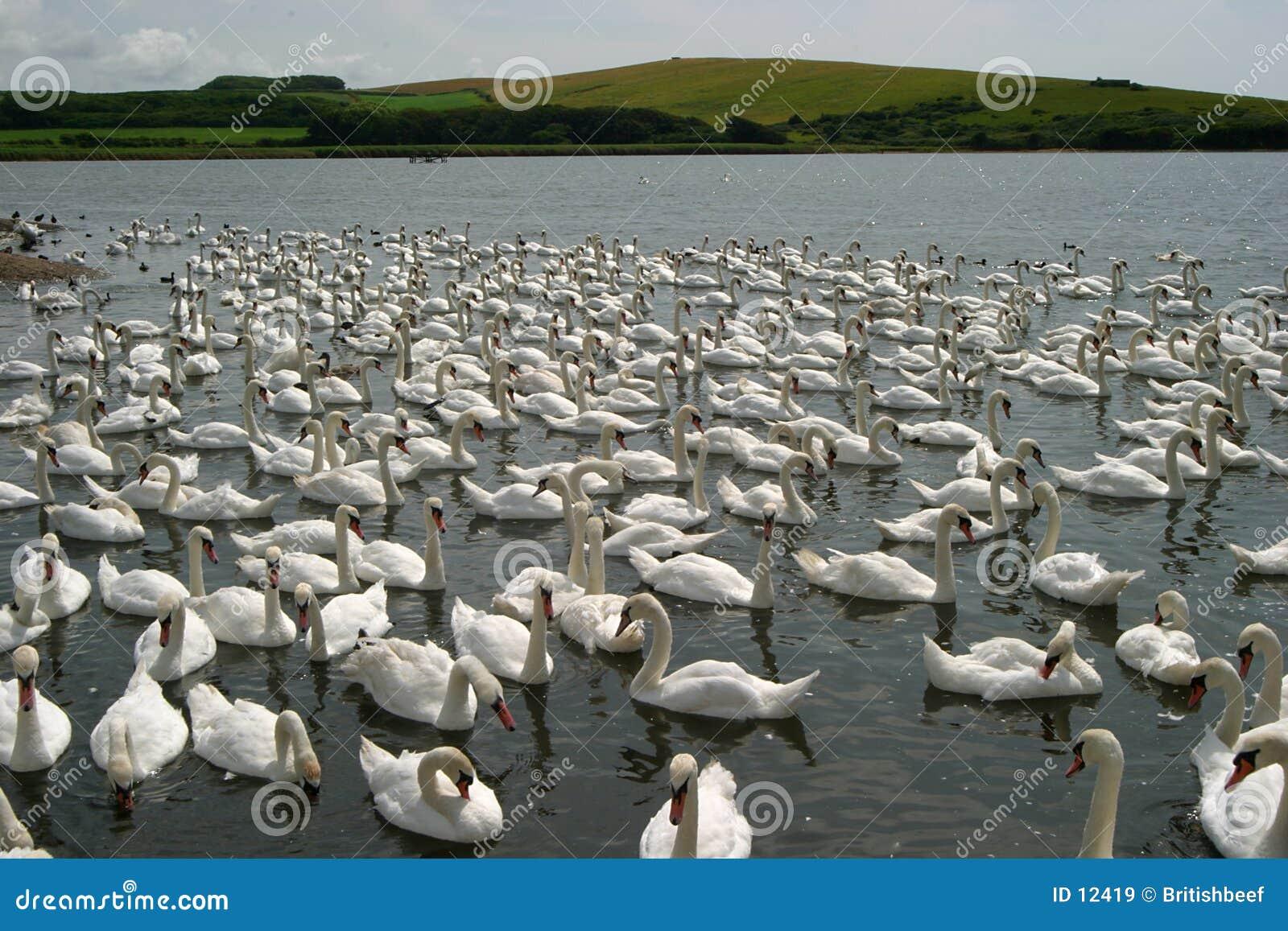 Centenas de cisnes