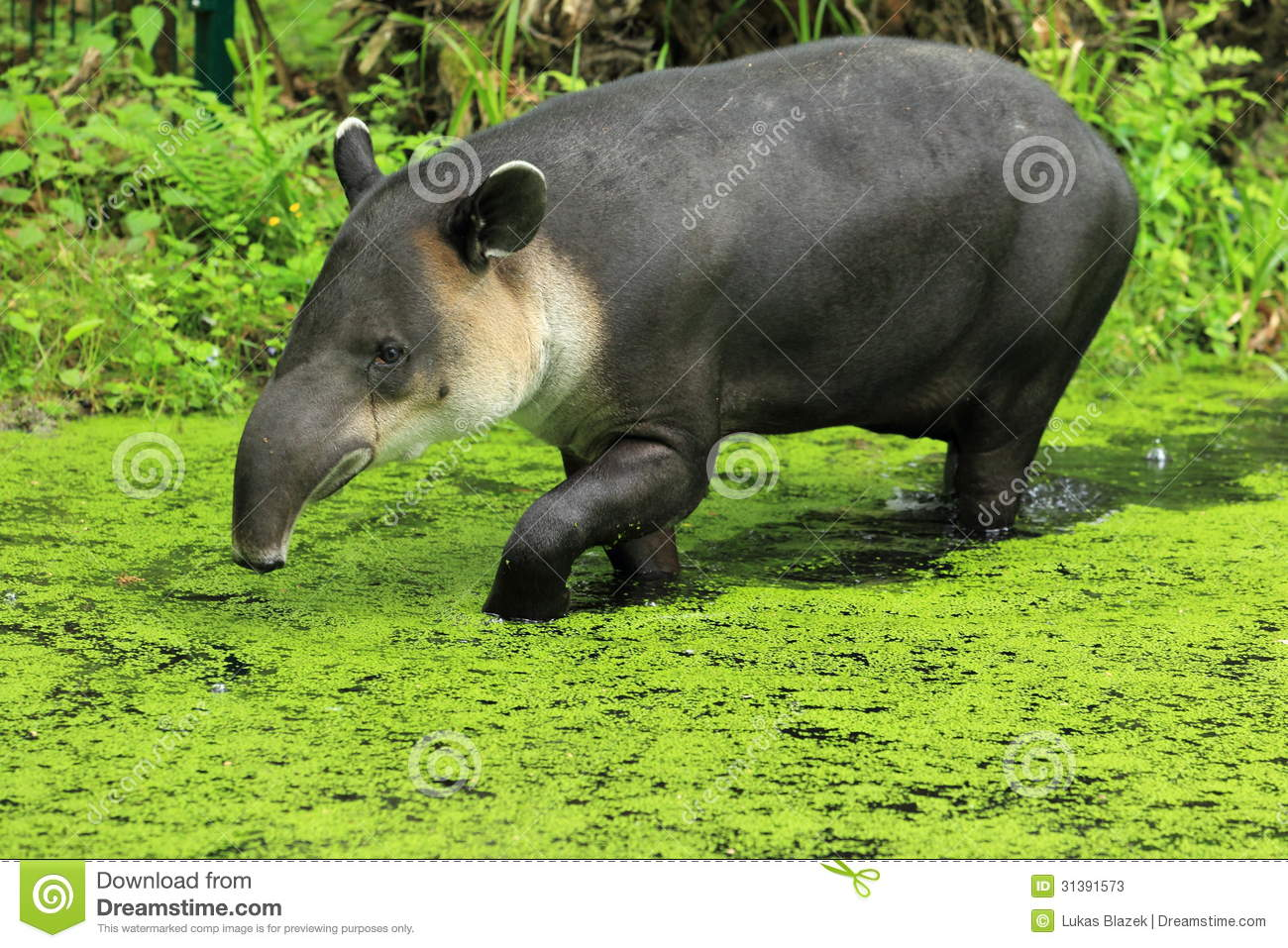 Stock Photos Central American Tapir Water Image31391573 on tropical house design