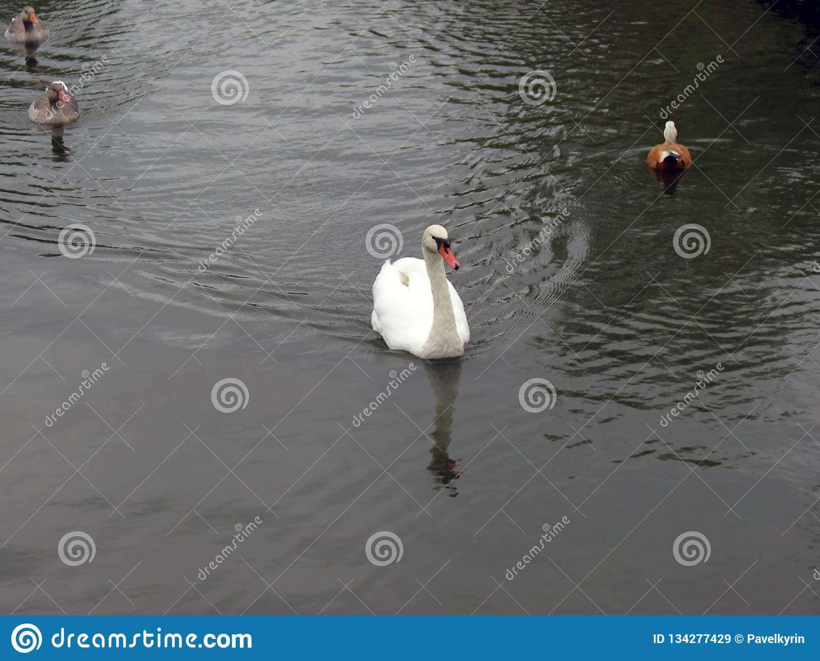 Central Russia, the white Swan and three ducks floating on the pond