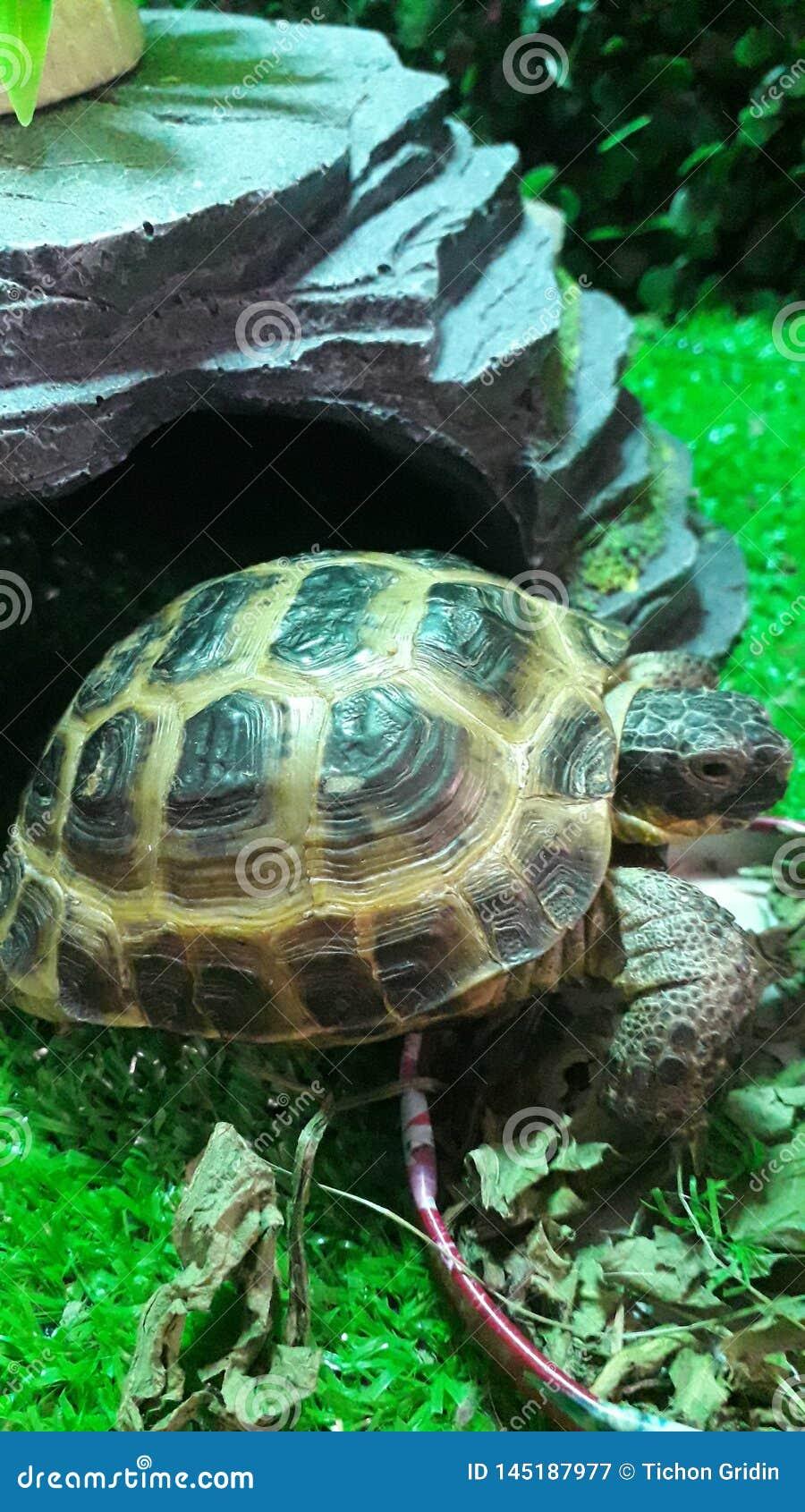 Centrale Aziatische kleine schildpad dichtbij de voeder
