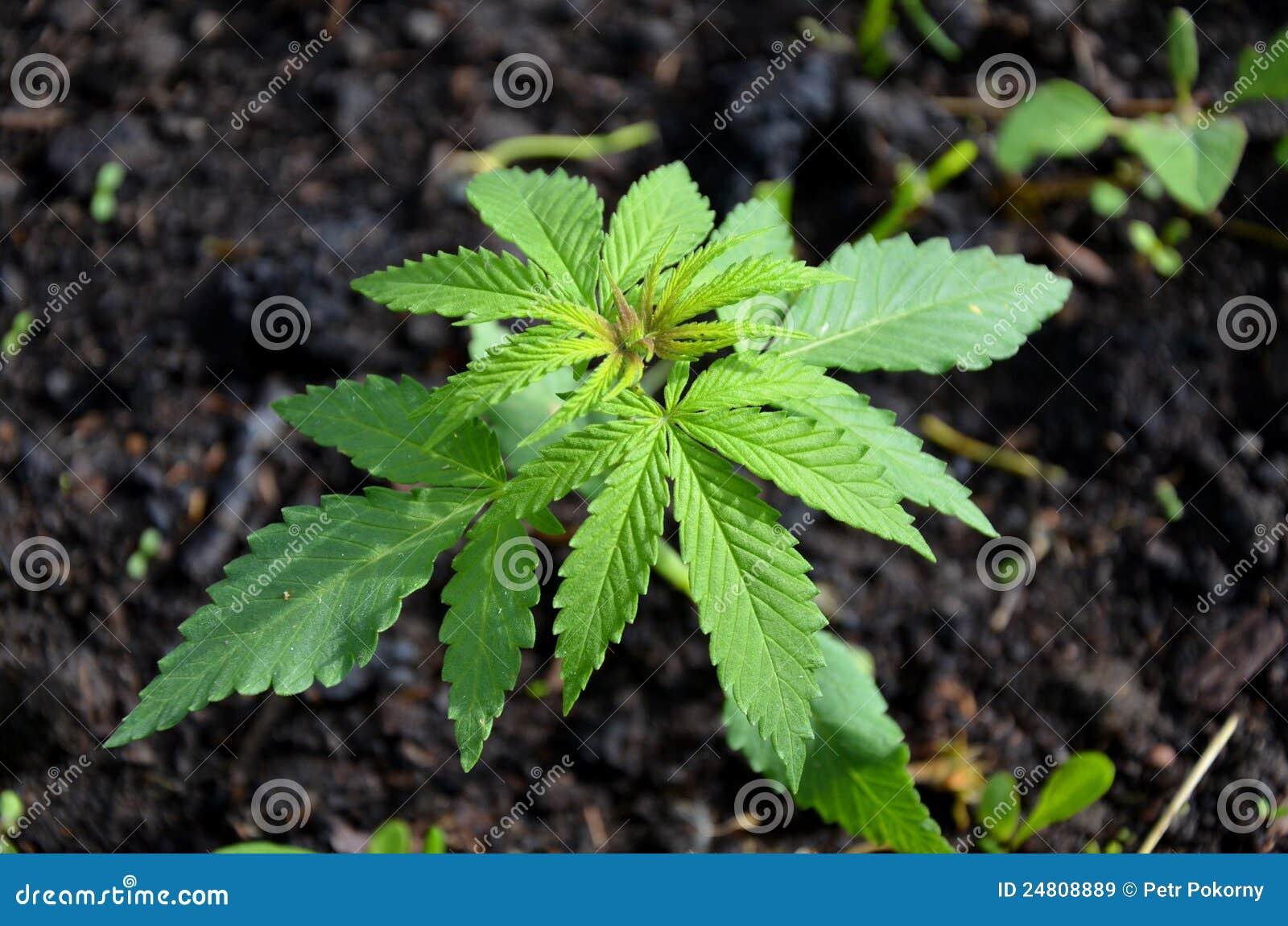 Centrale de cannabis