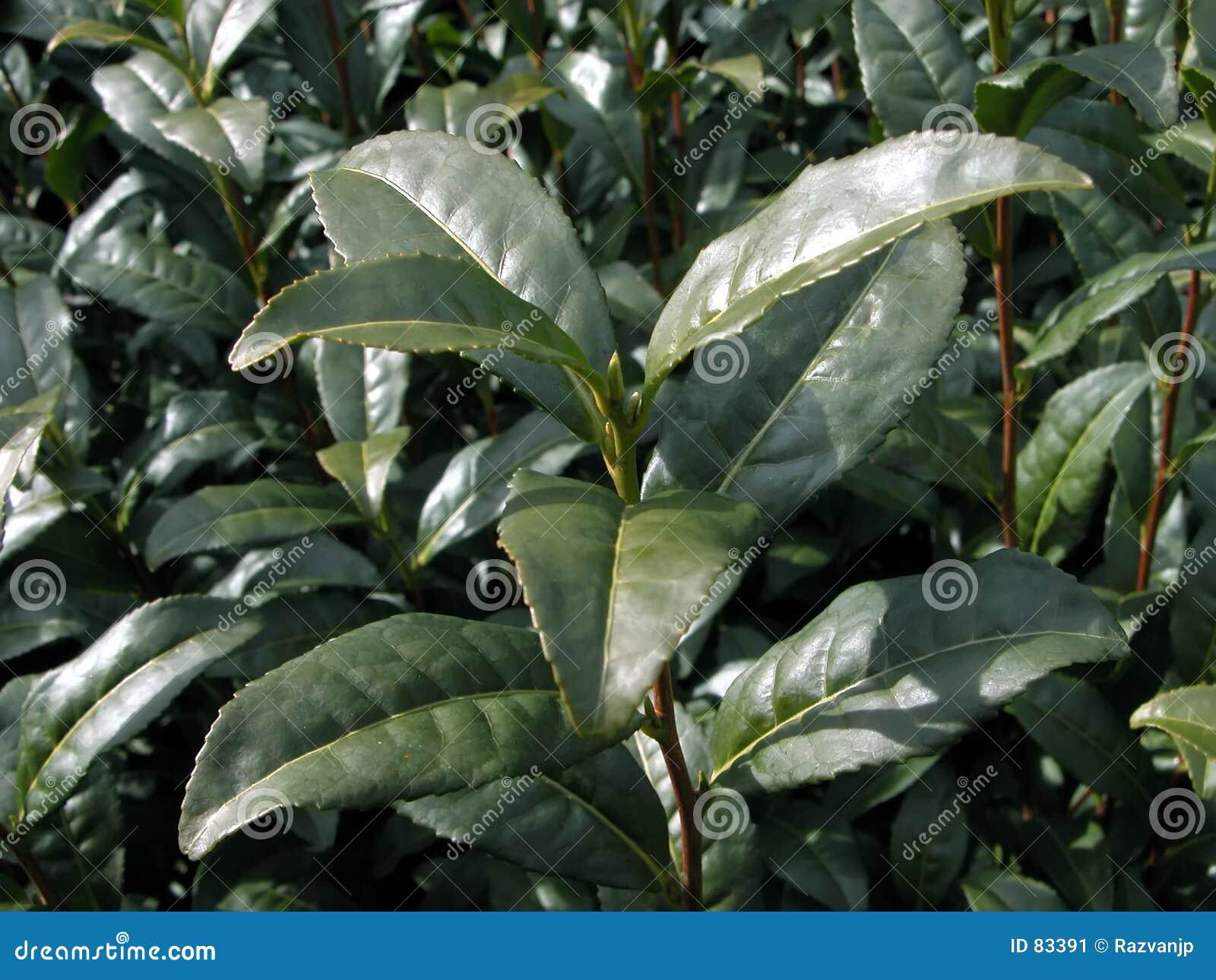 Centrale de thé vert