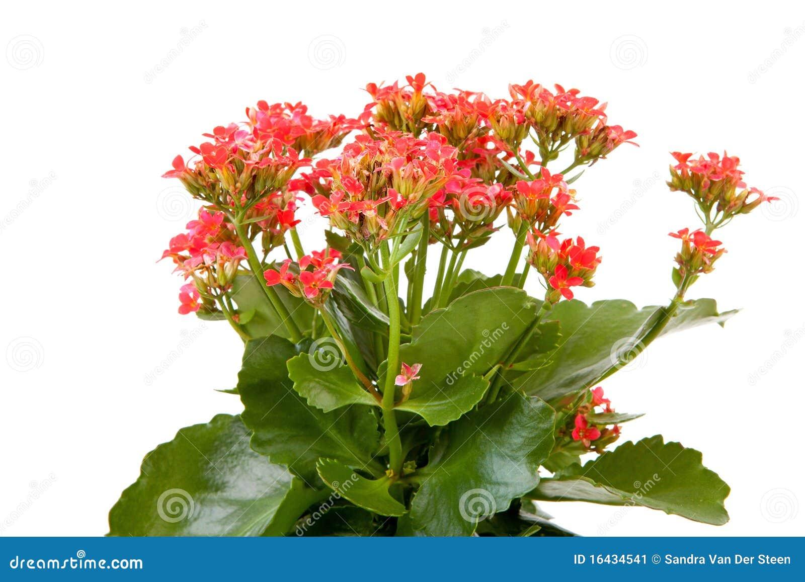Centrale Rose De Fleur De Kalanchoe Image Stock Image Du Rose