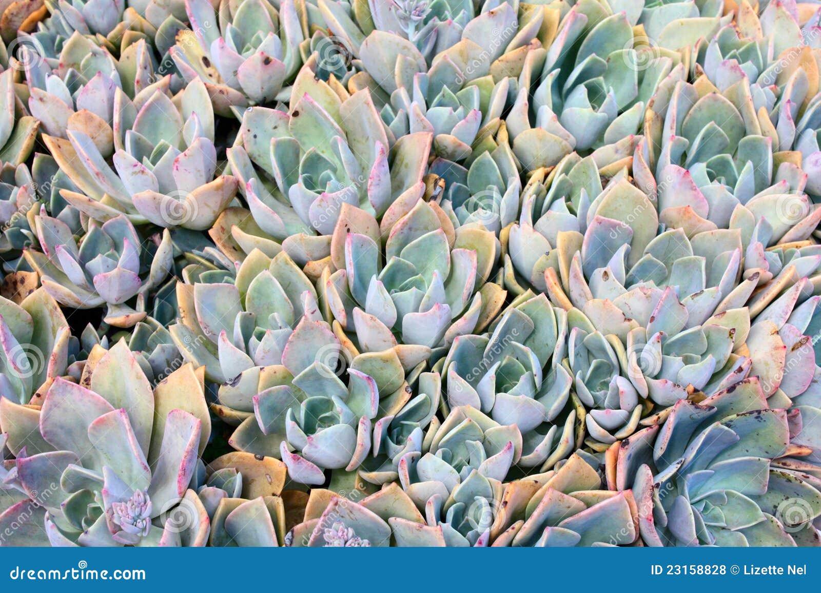 Centrales succulentes