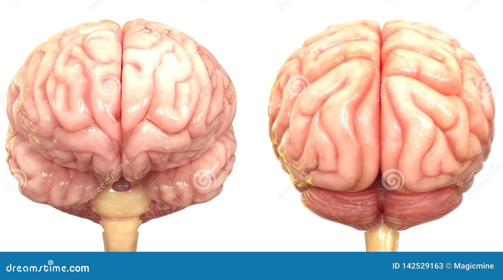 Centralt organ av den m?nskliga nervsystemet Brain Anatomy