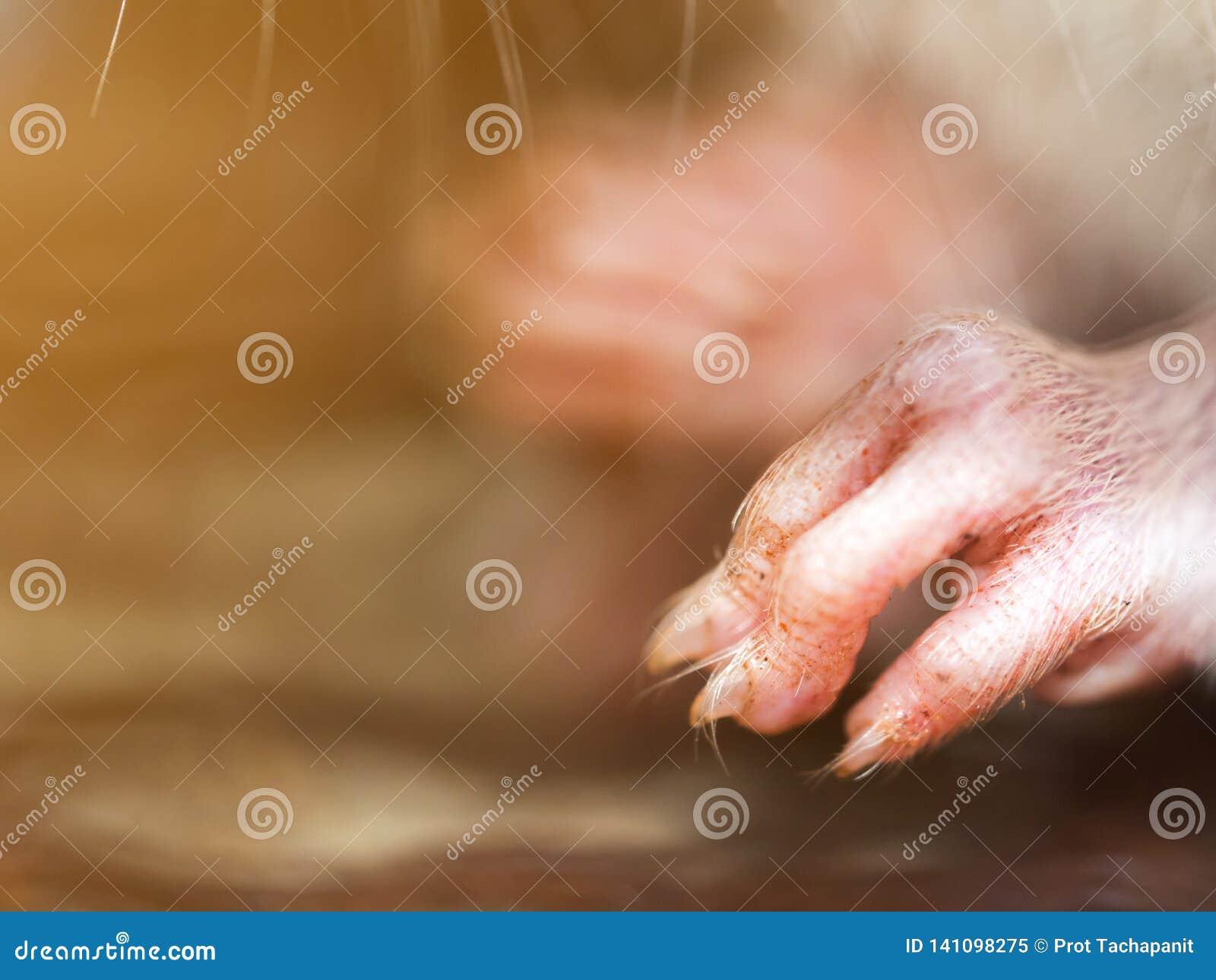 Centre choisi du clou du rat dans l entaille Les maisons et les logements ne devraient pas avoir des souris Lutte contre les para