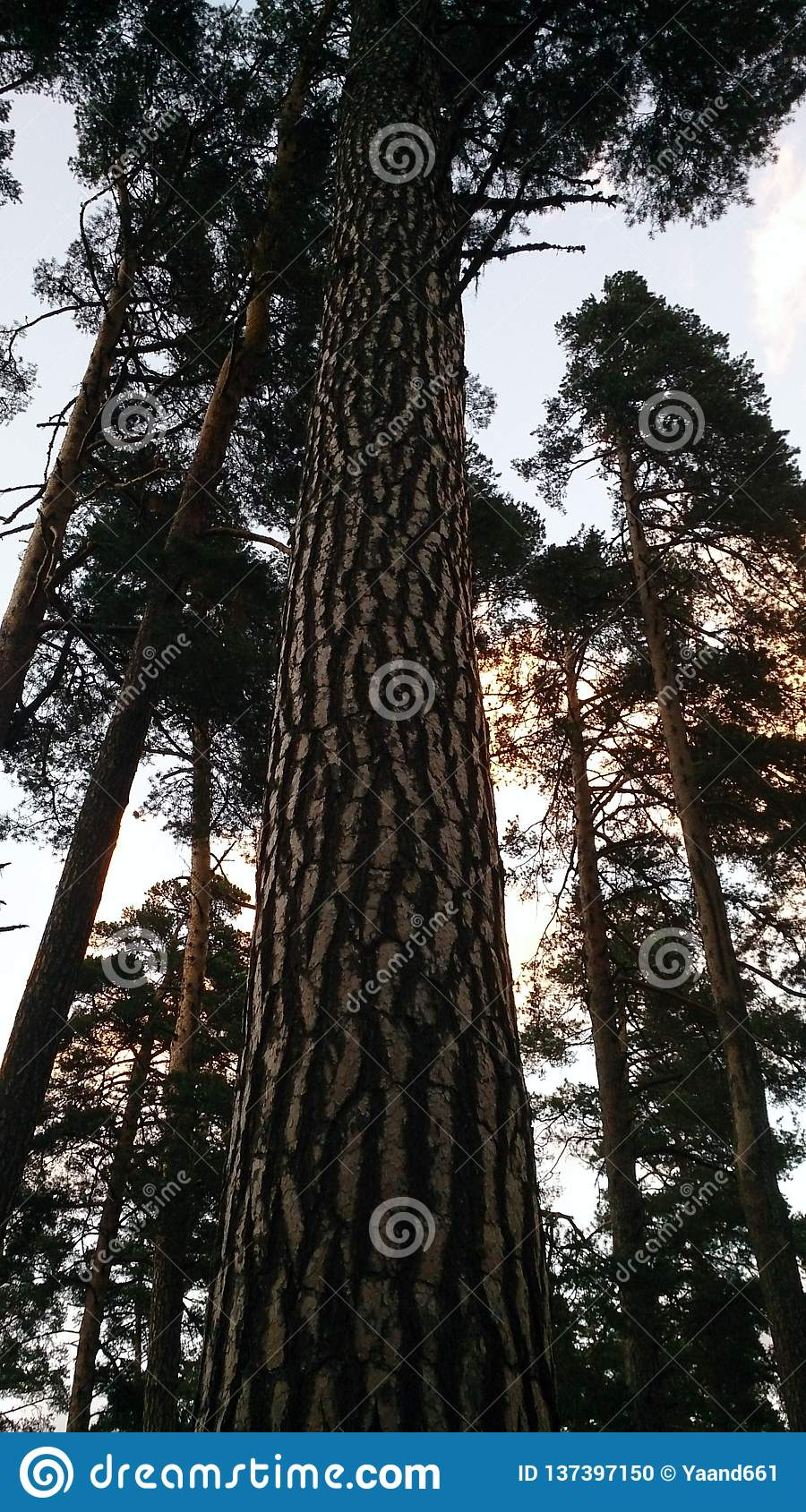 Centuries-old pines against the sky