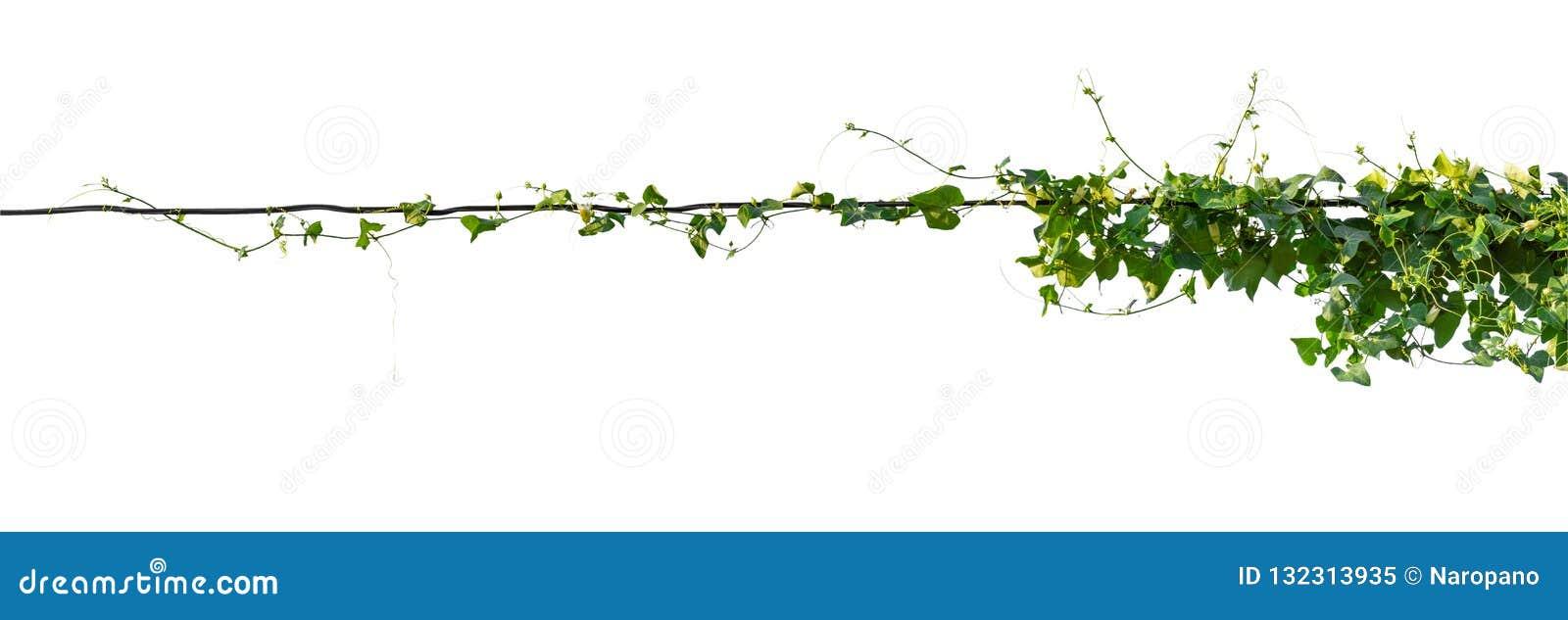 Cep de vigne d isolement sur le fond blanc Chemin de coupure