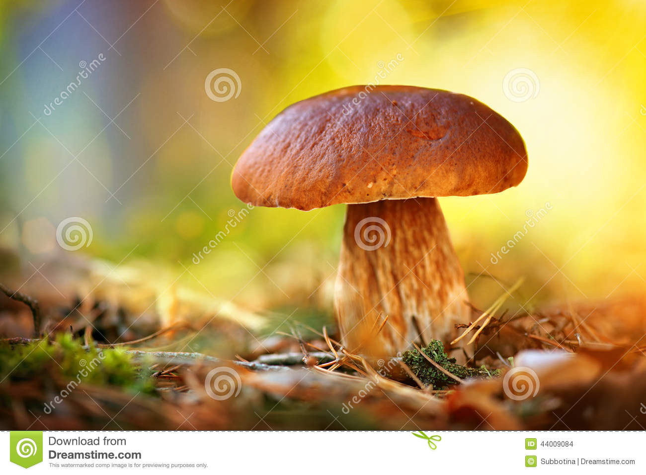 Cep mushroom growing in autumn forest