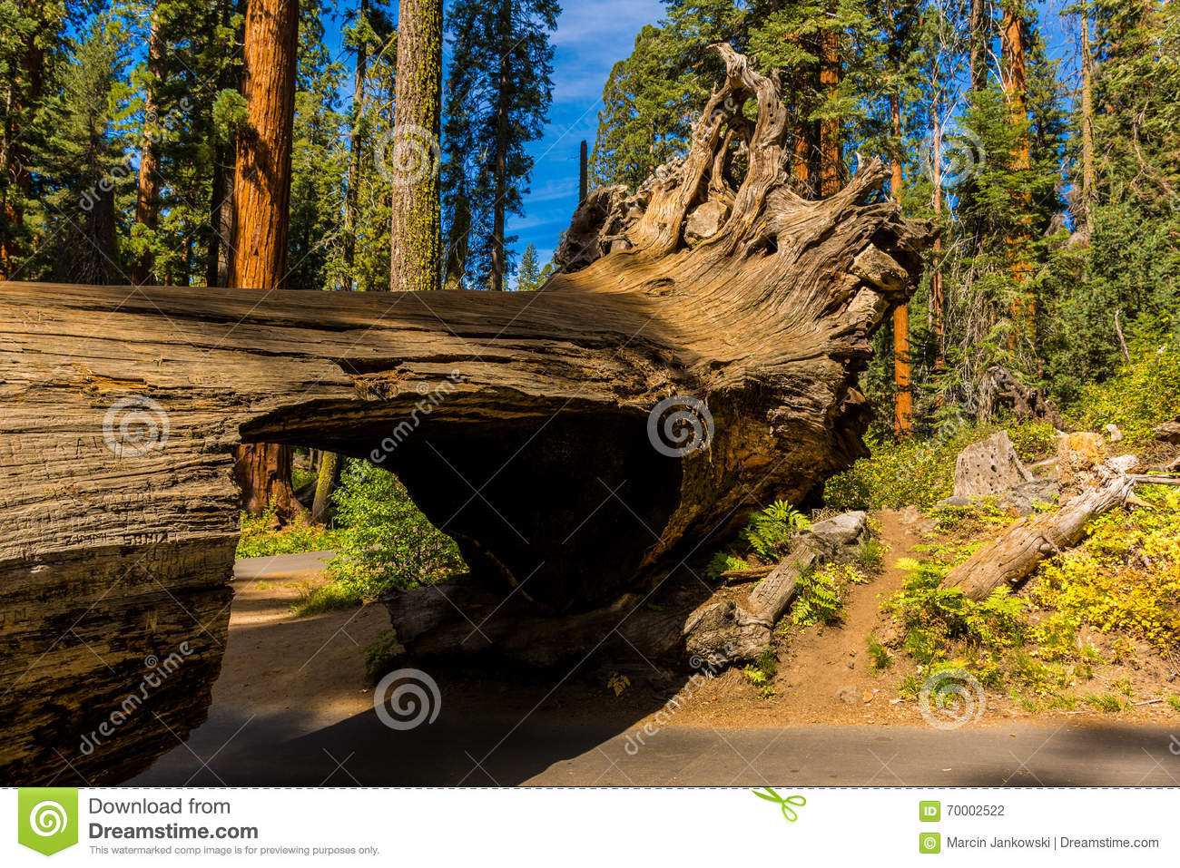 Ceppo del tunnel, foresta gigante, California U.S.A.