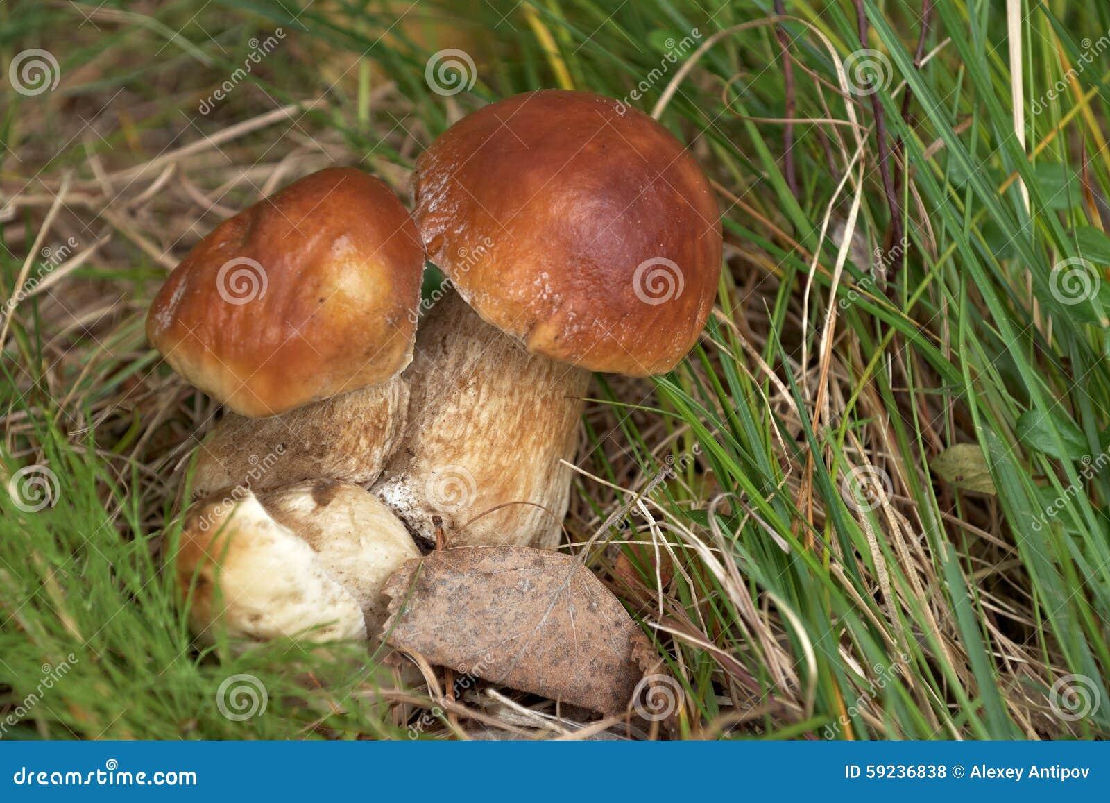 Download Ceps en bosque del verano foto de archivo. Imagen de verde - 59236838