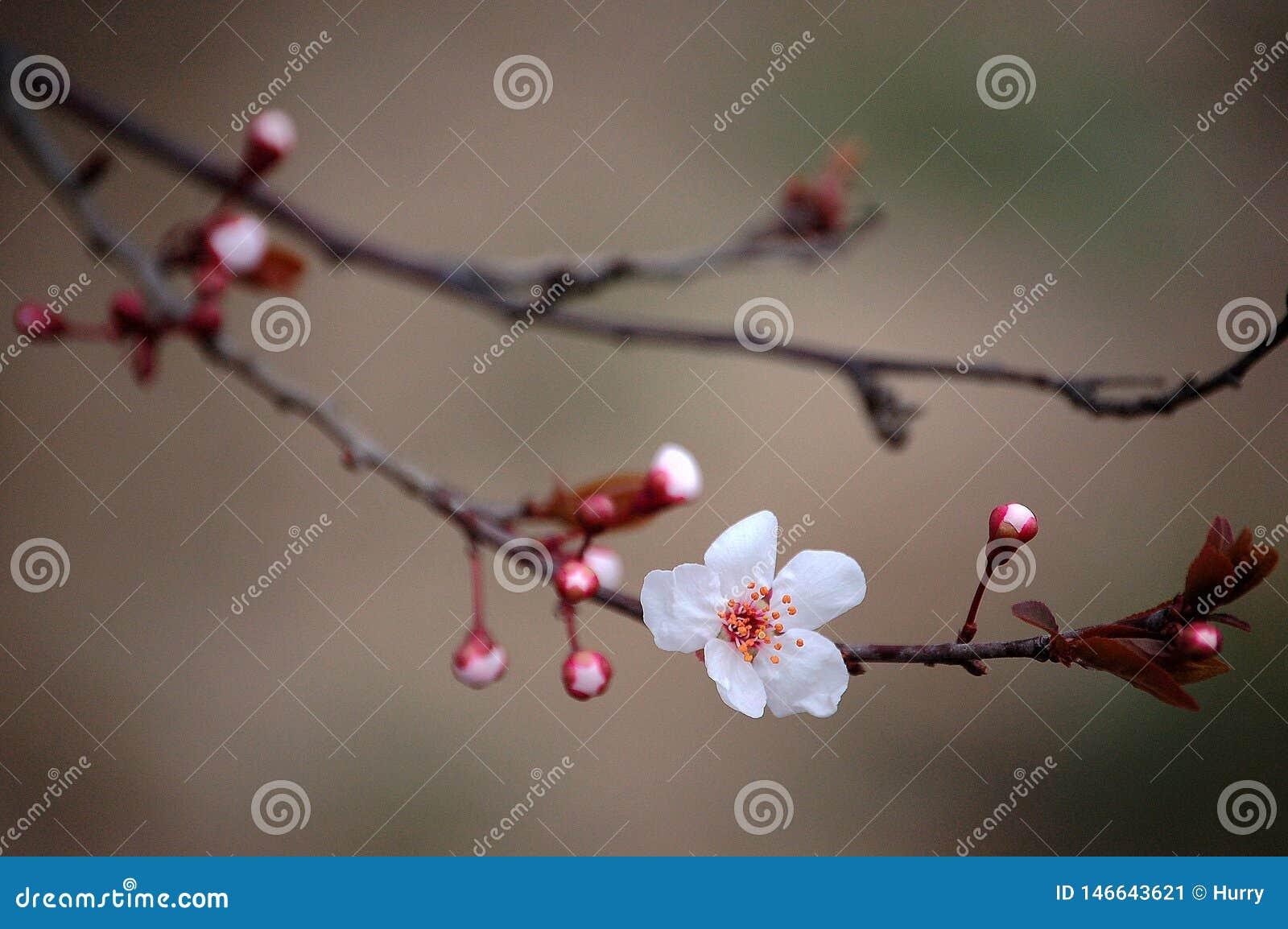 Cerasifera de Prunus fleurissant au printemps