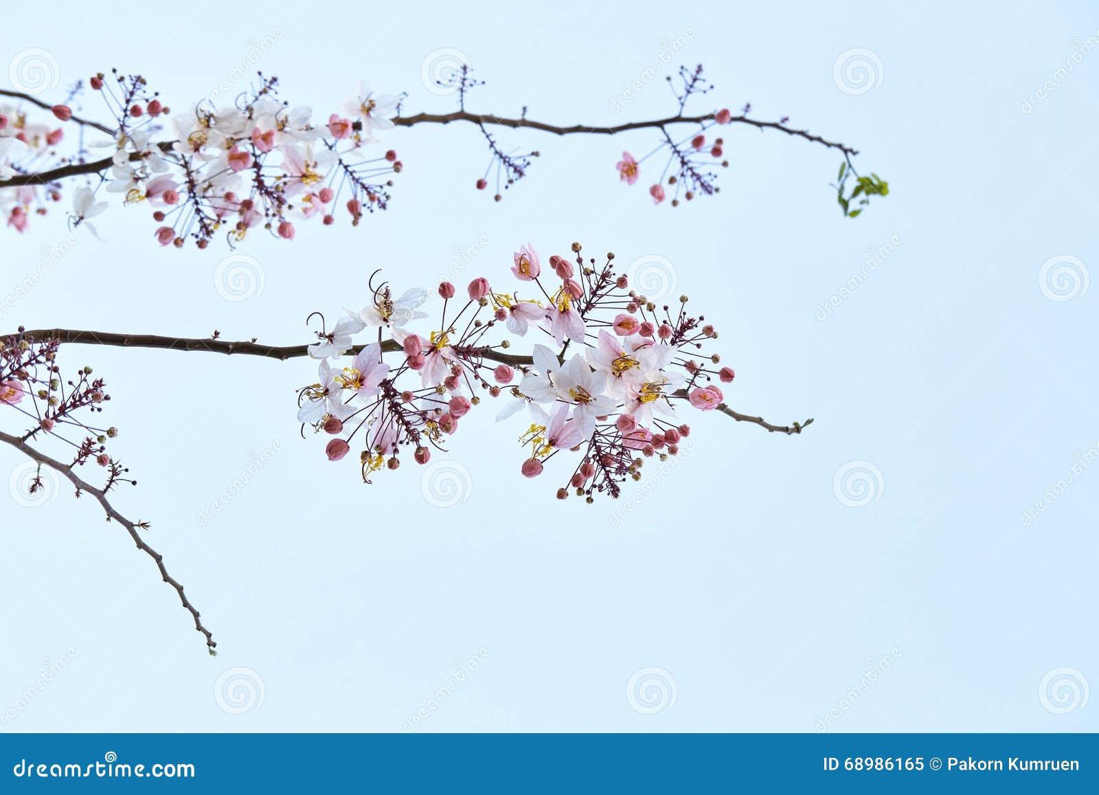 Cerasoides del Prunus