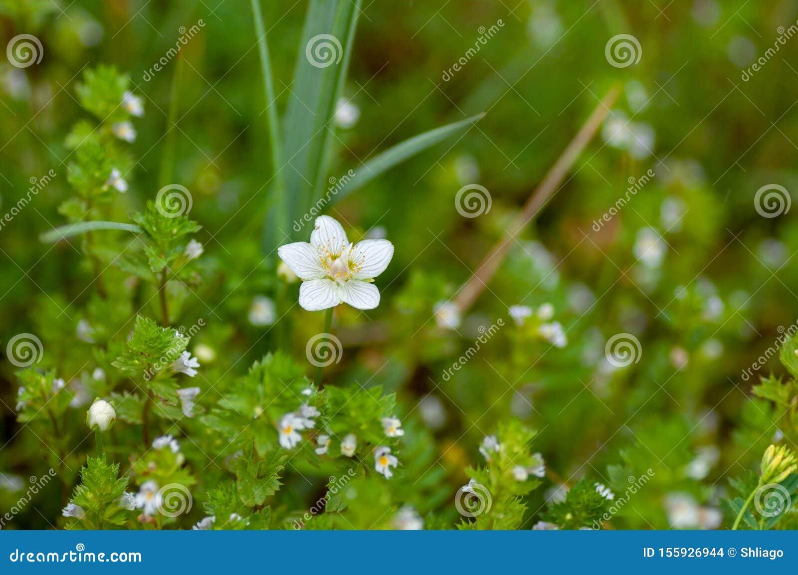 Cerastium lithospermifolium flowers on the mountain in Aktru valley. North-Chuiskiy Range. Altai Republic, Siberia