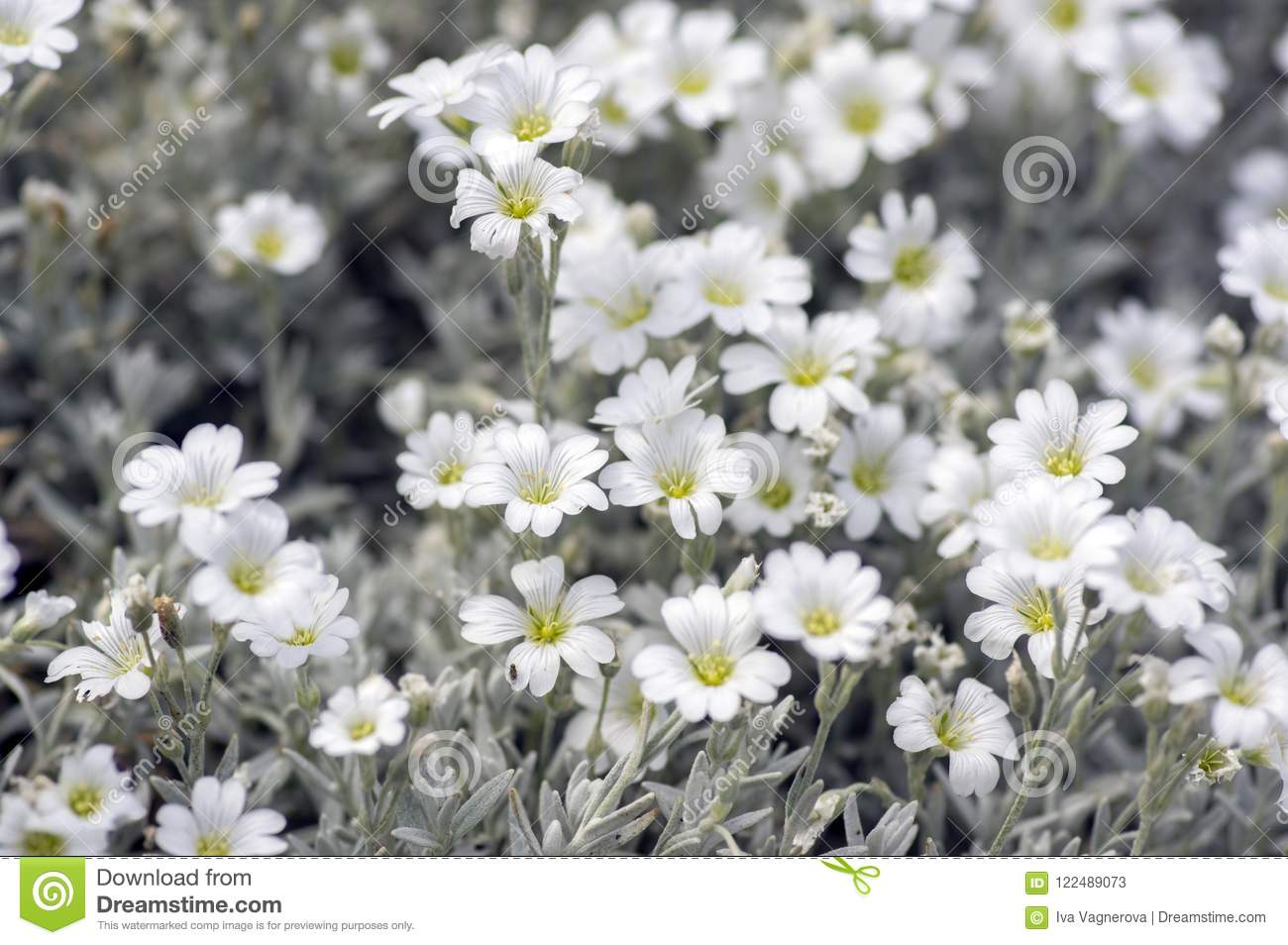 Cerastium Tomentosum Snow In Summer Perennial Flowers In Bloom