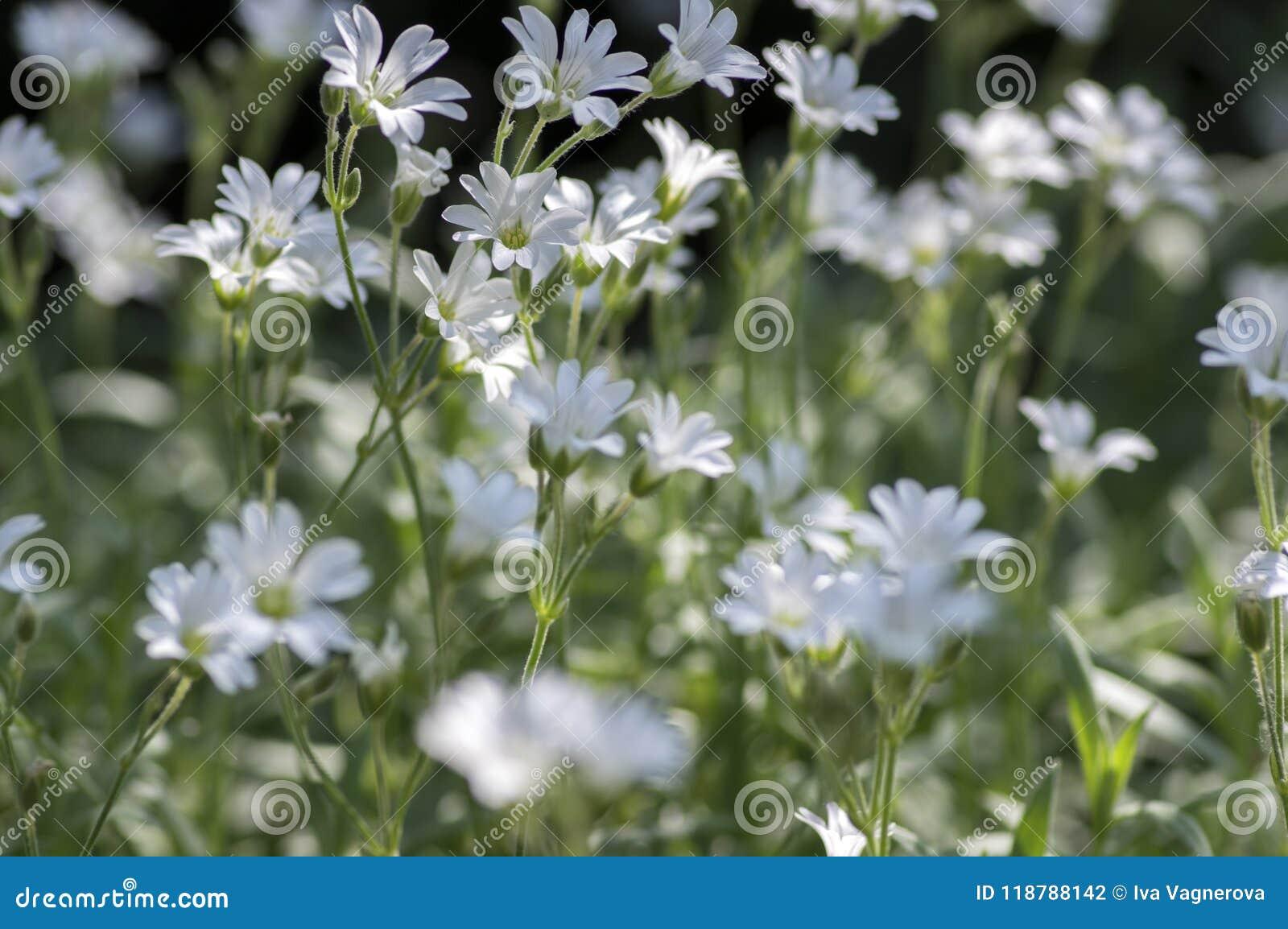 Cerastium Tomentosum Snow In Summer Perennial Flowers In Bloom