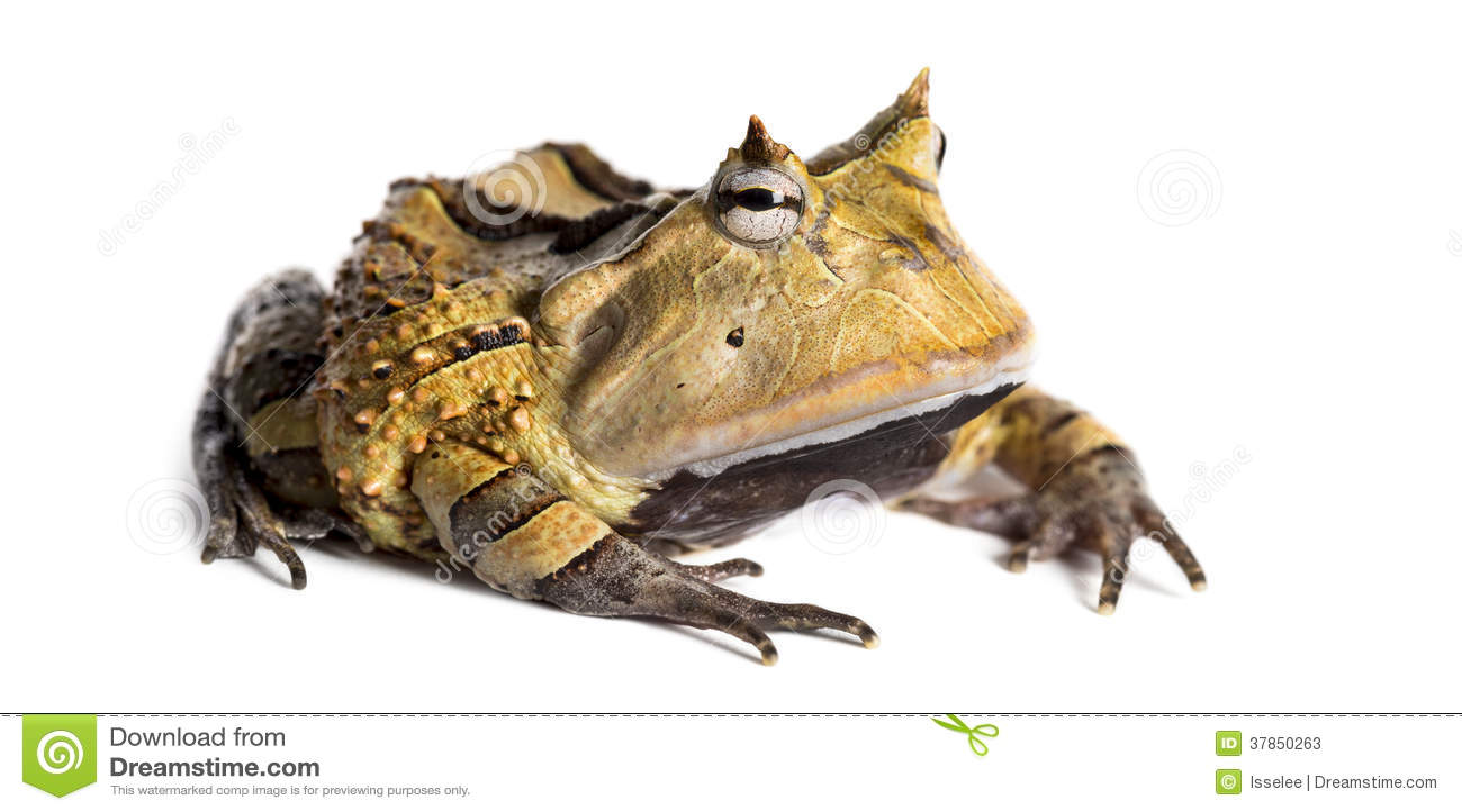 阿根廷有角的青蛙certohry