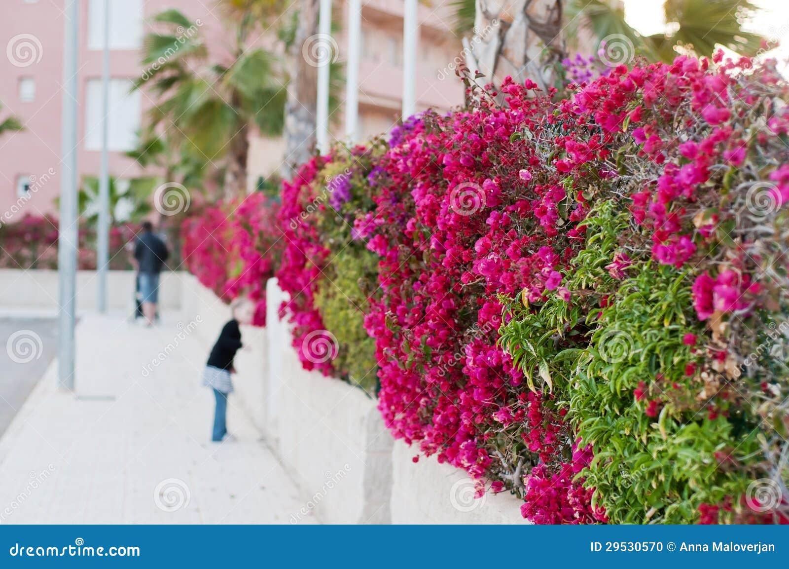 A cerca bonita do roxo floresce o bougainvillea