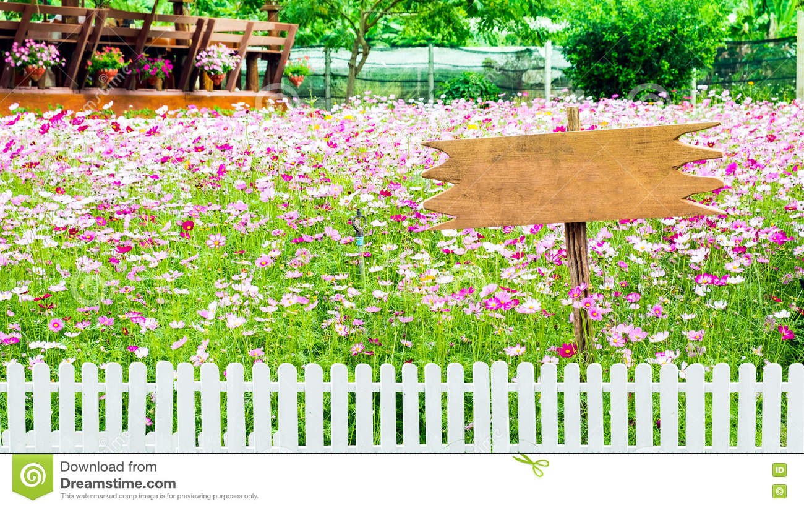 Cerca cor-de-rosa da flor do cosmos e branca branca de madeira