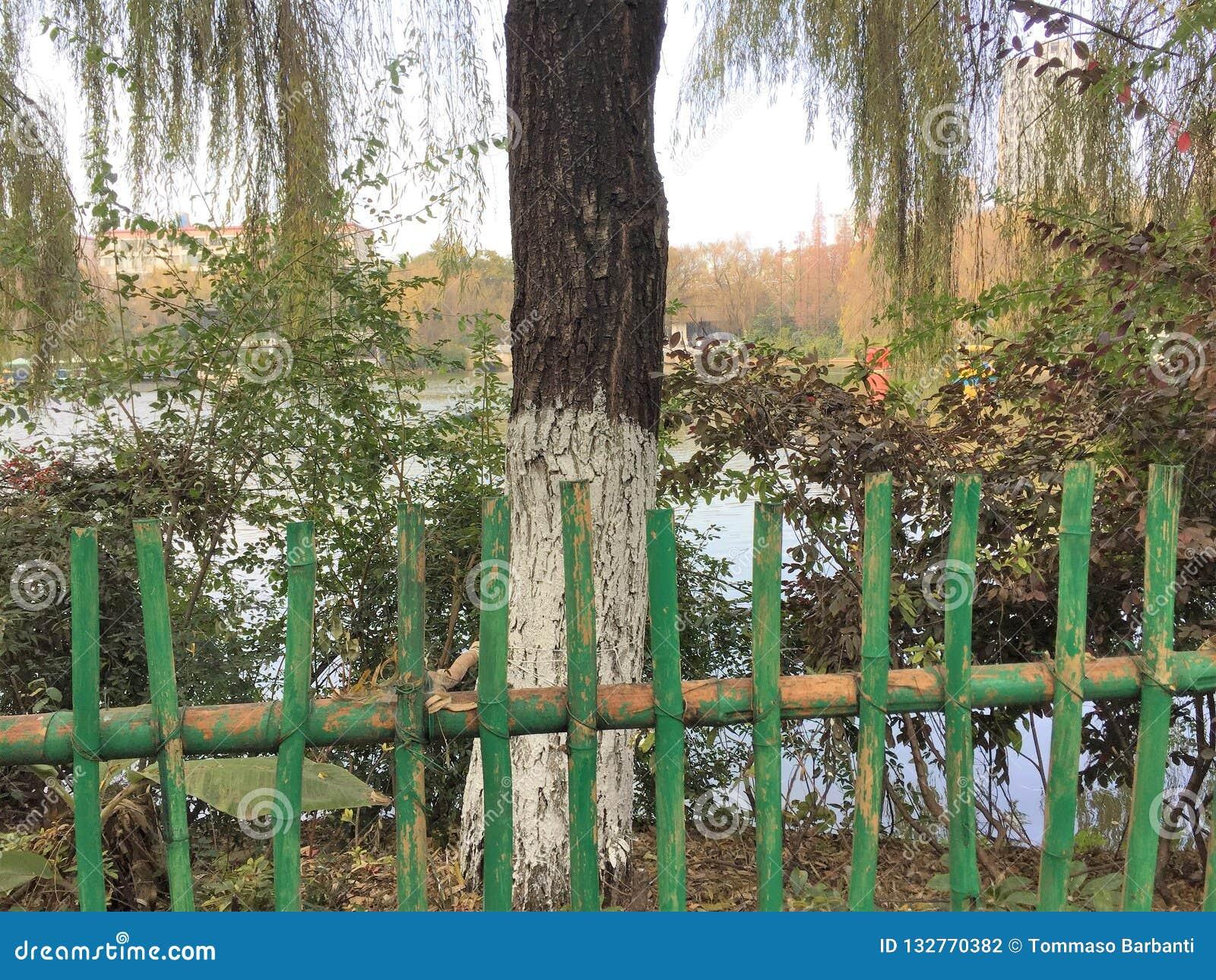 Cerca de bambu em um parque chinês com uma árvore de salgueiro isolada e um fundo do lago