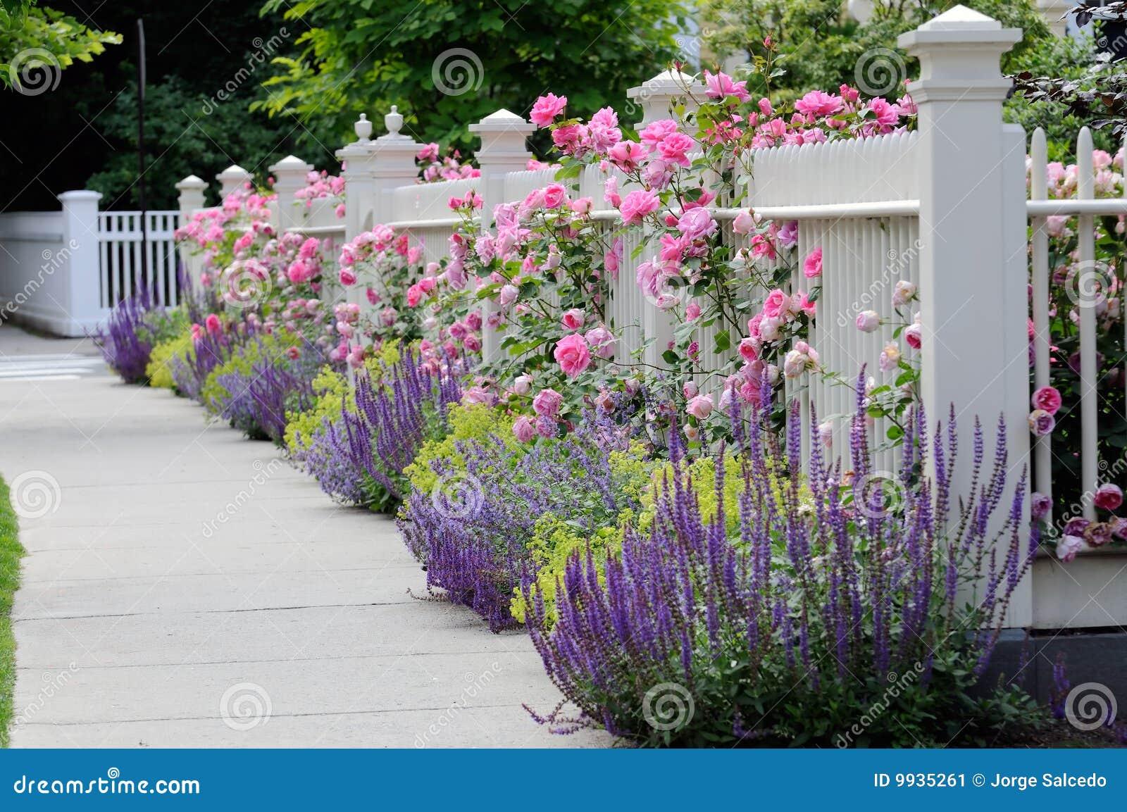 Cerca de madeira branca com flores Rosas corderosa, salvia azul