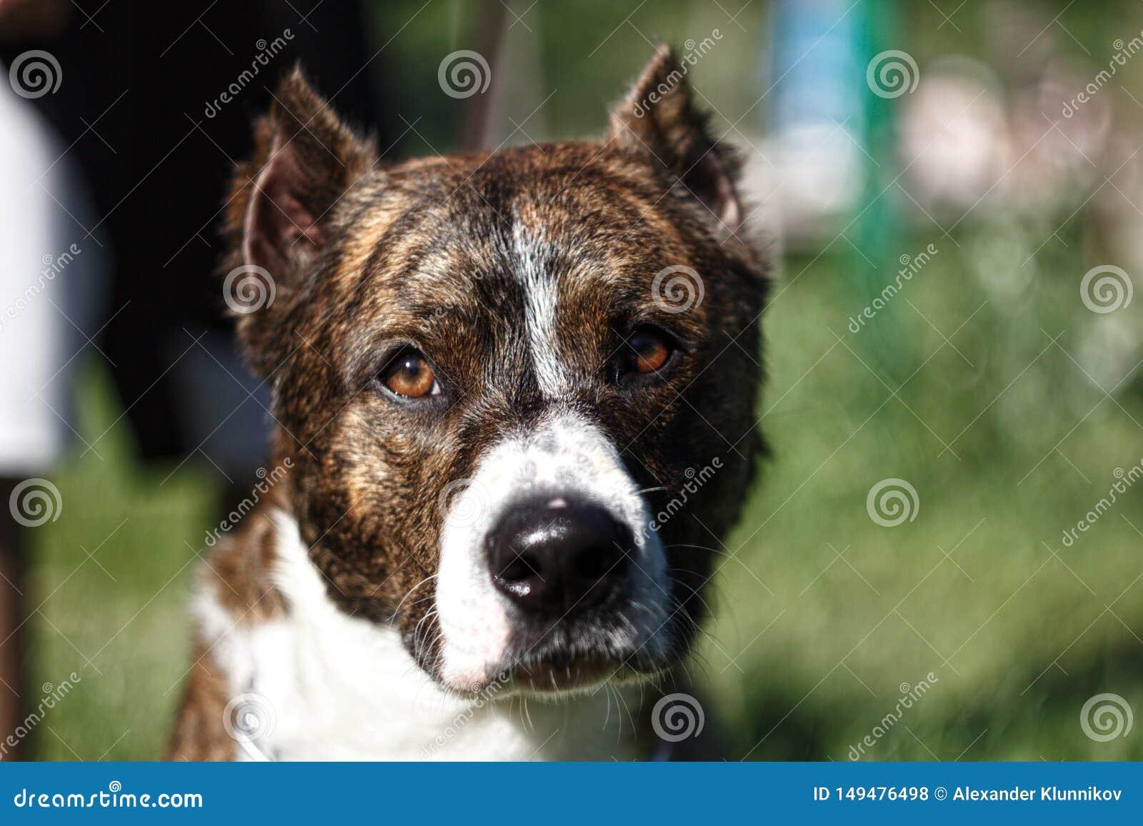 Cerca encima de un perro con los o?dos cosechados